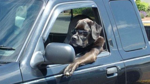 driving-dog