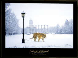 Grace Reflections Tiger on Quad Poster