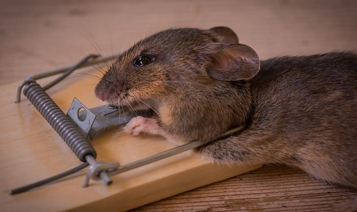 How to get obviate Rats