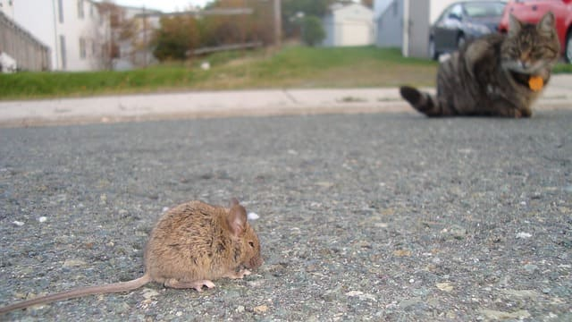 Why is it Possible to Control Rats