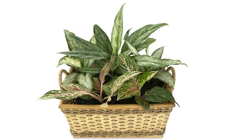 Aglaonema Plant Profile - 10minutesformom