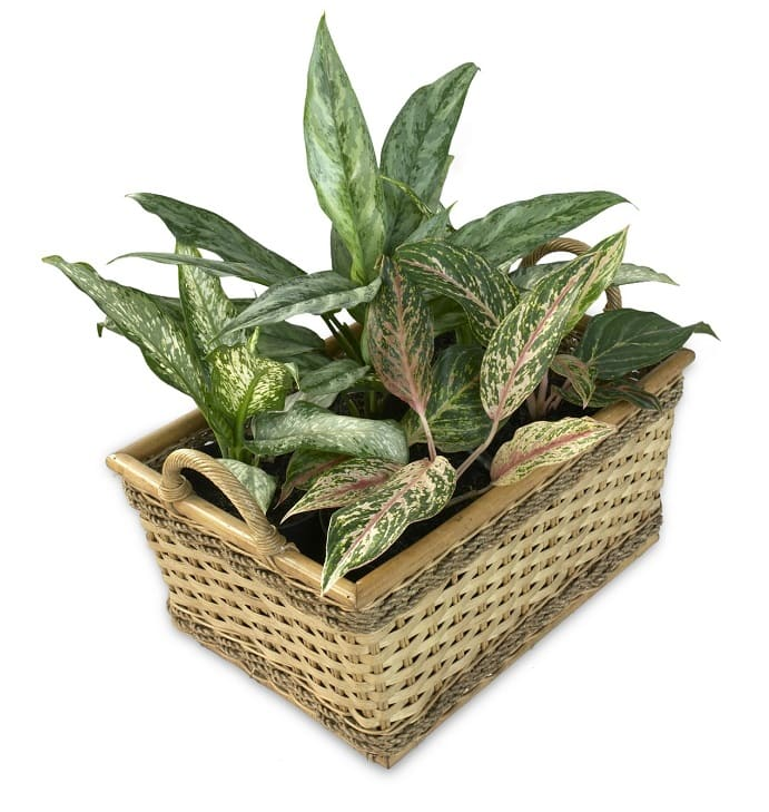 How to Grow Aglaonema Plants