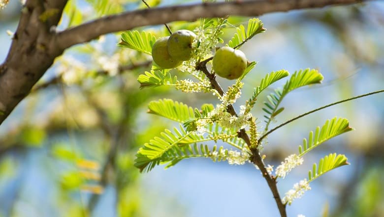 Indian Gooseberry - Hair roots stronger