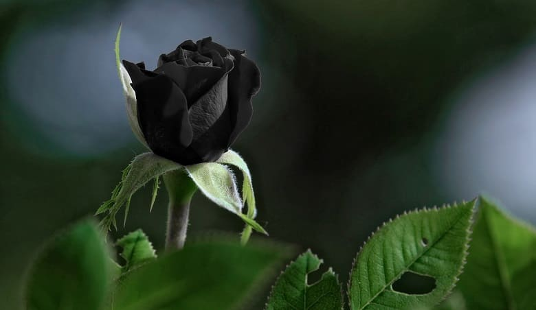 know about Black Roses