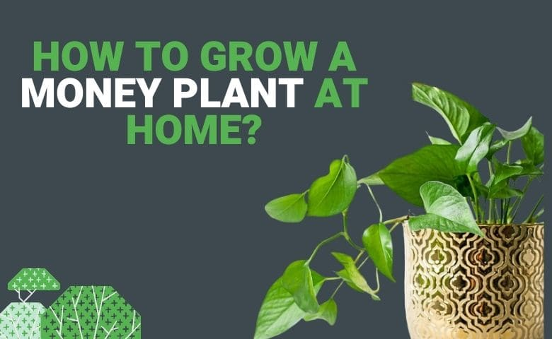 HOW TO GROW A MONEY PLANT AT HOME