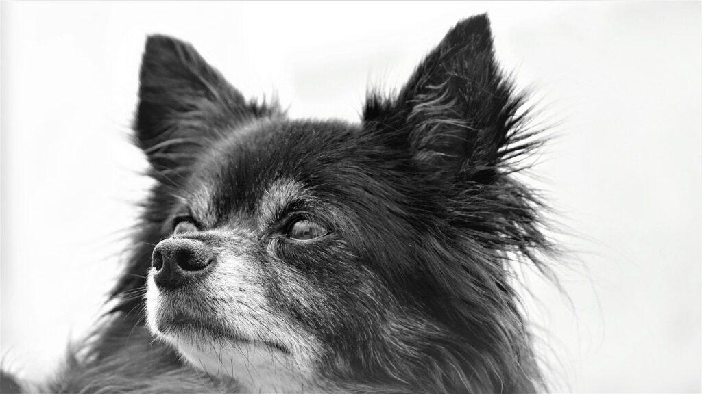 chihuahua, dog, doggy