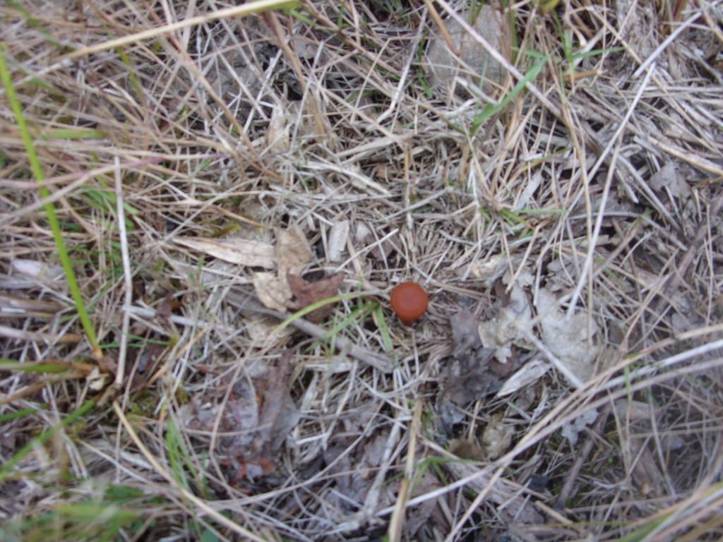 Orange Peel (Peziza aurantia)