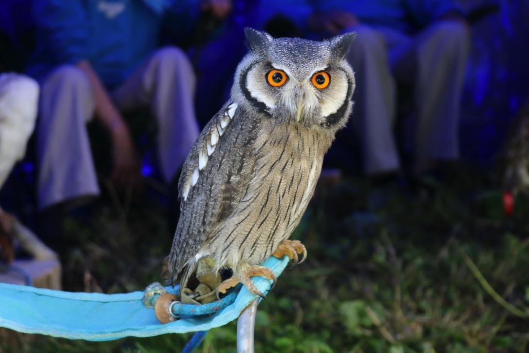 Another Chelmarsh Owl