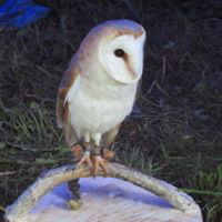 Chelmarsh Owls