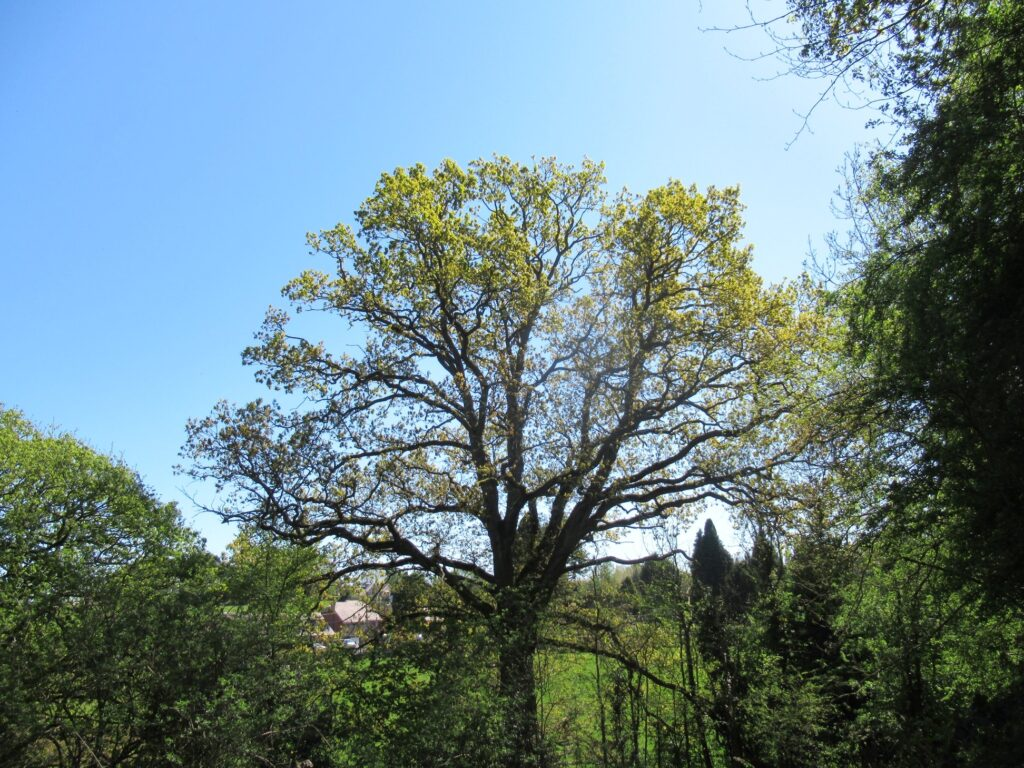 An oak tree coming to life