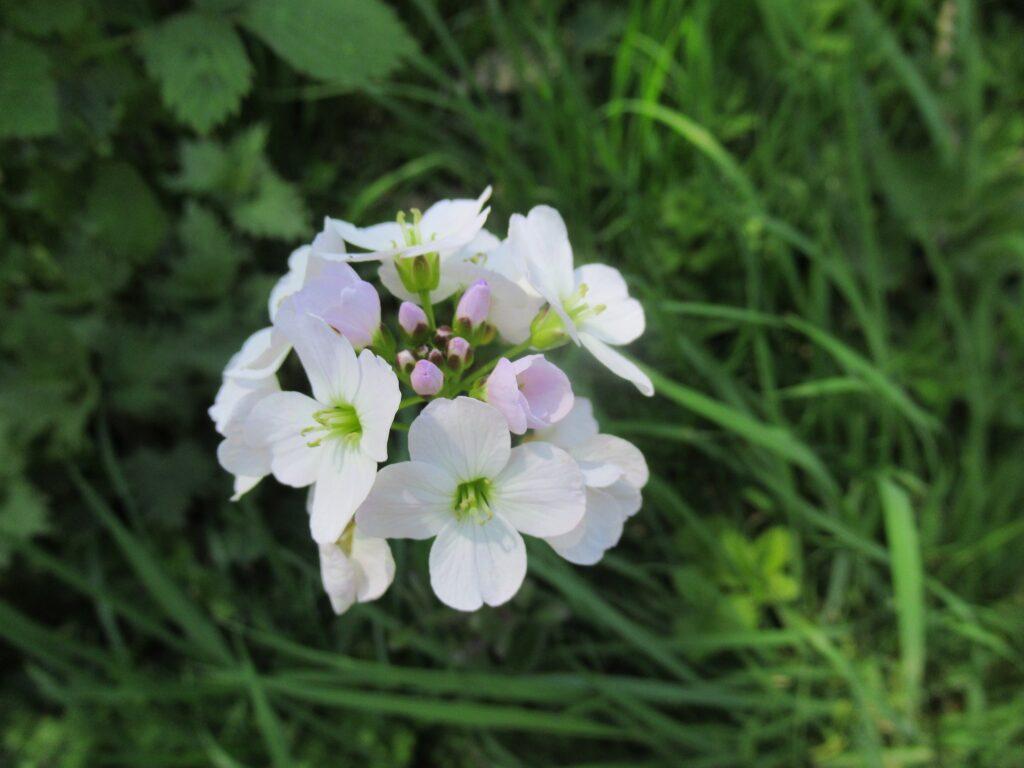 Cuckoo Flower (Lady's Smock)