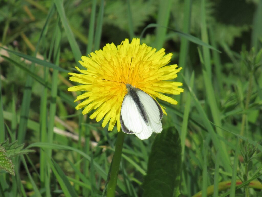 Dandelion with Large White Butterfly