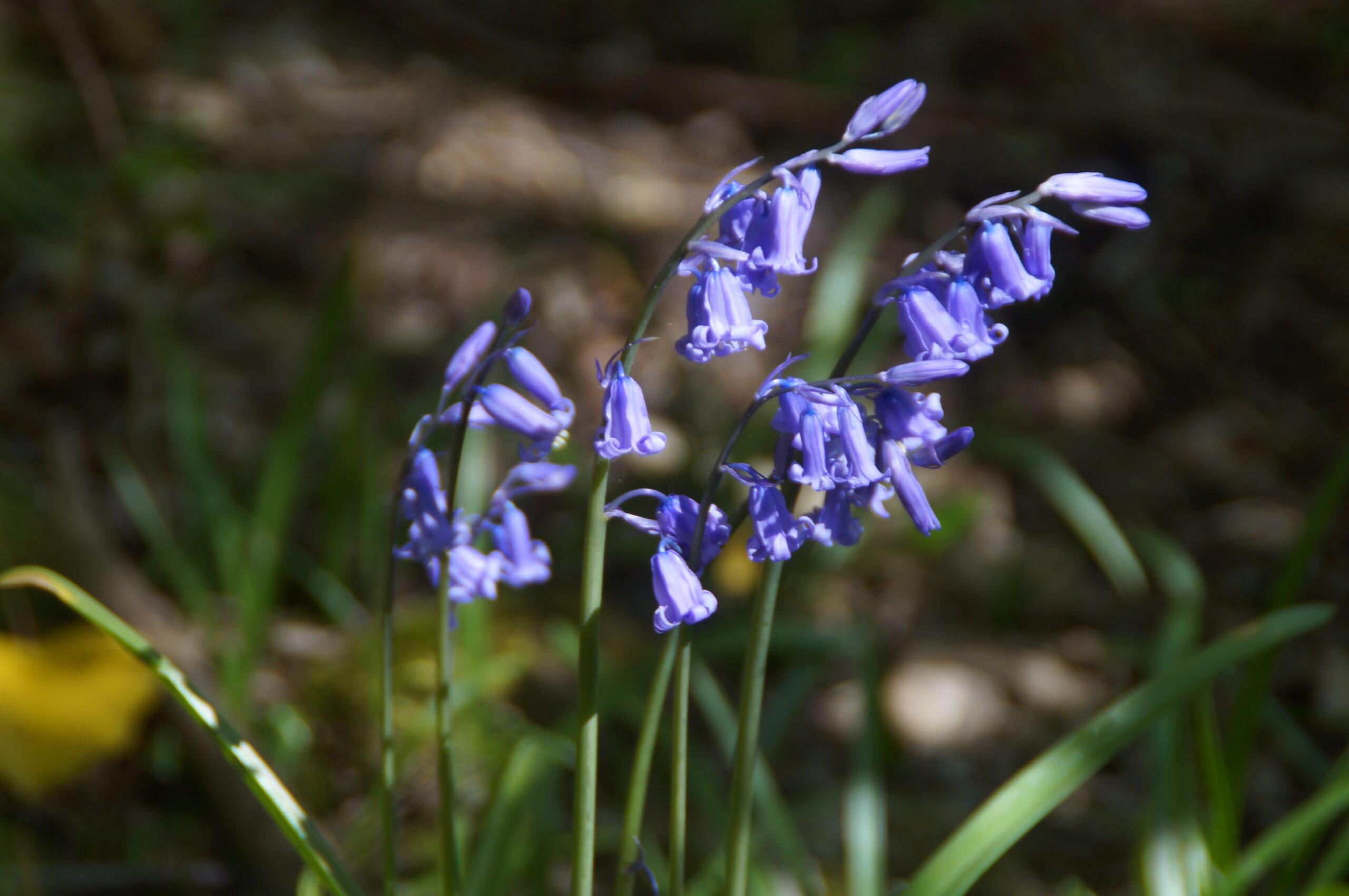 Native bluebells