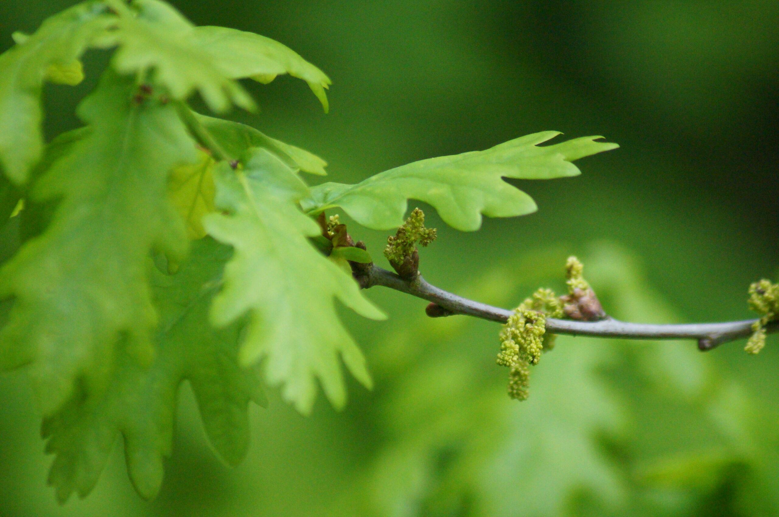 Male flowers, English oak