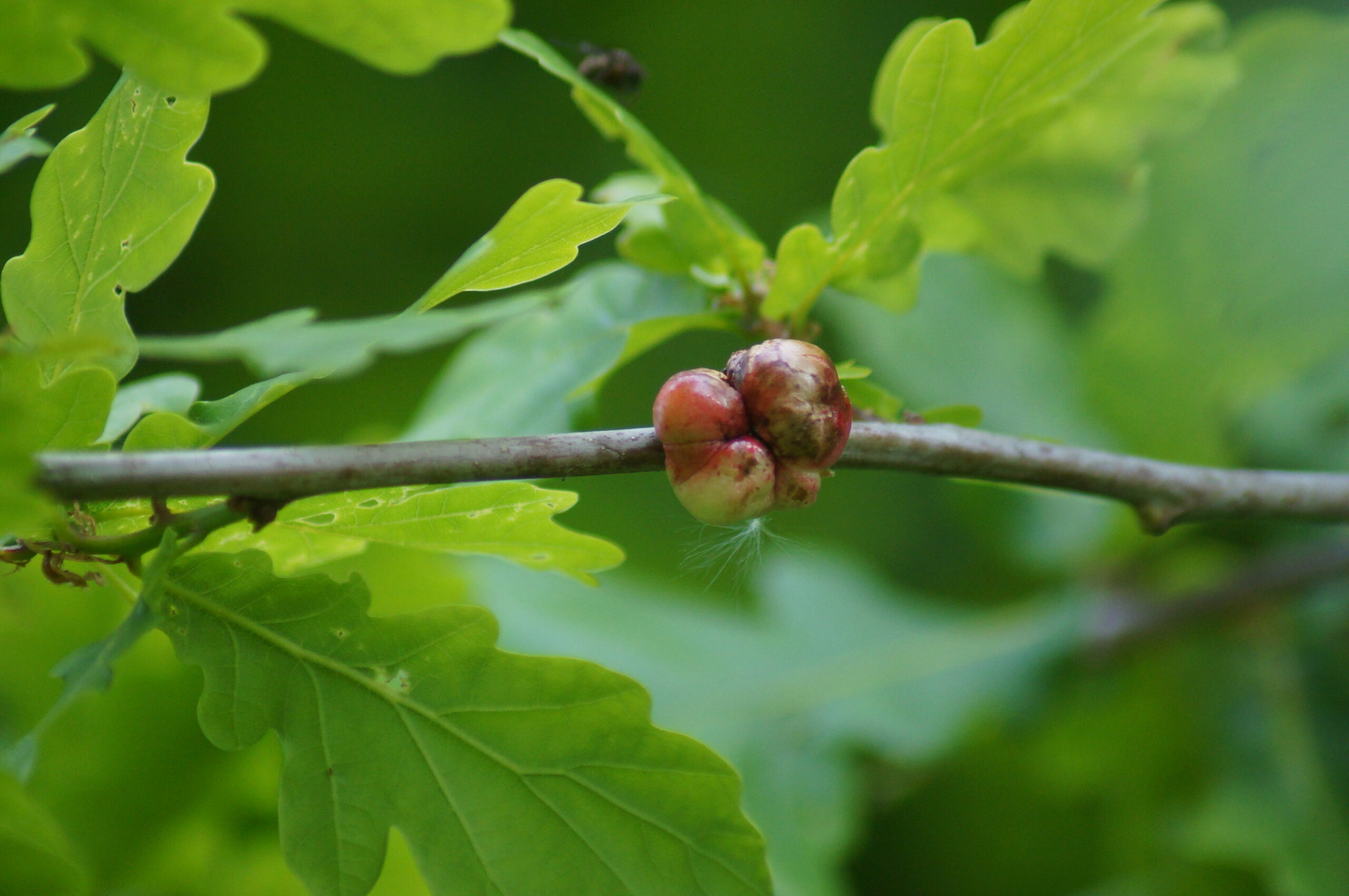 'Oak apple' - gall wasp