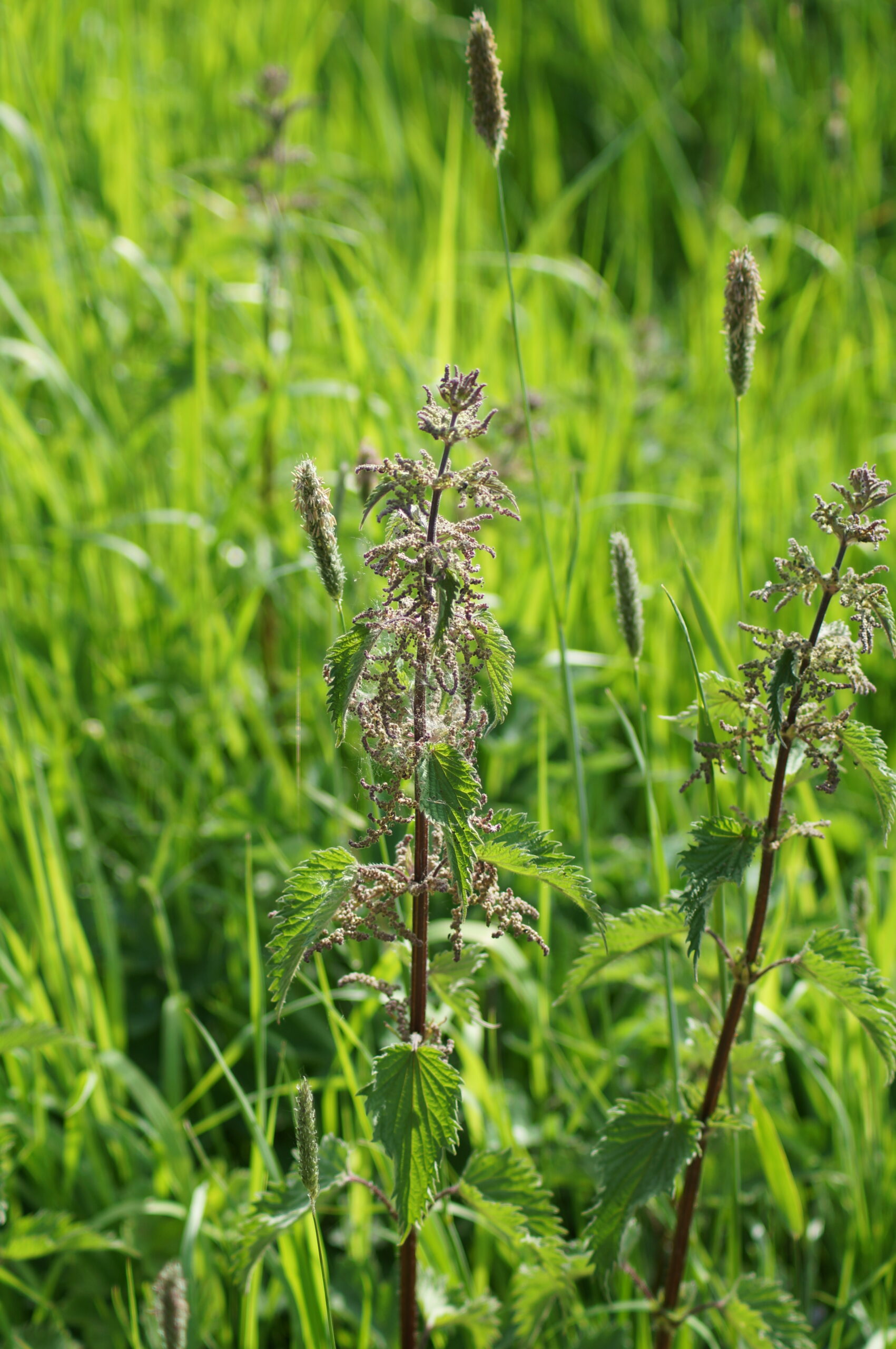 Stinging nettle (female flowers) and Timothy
