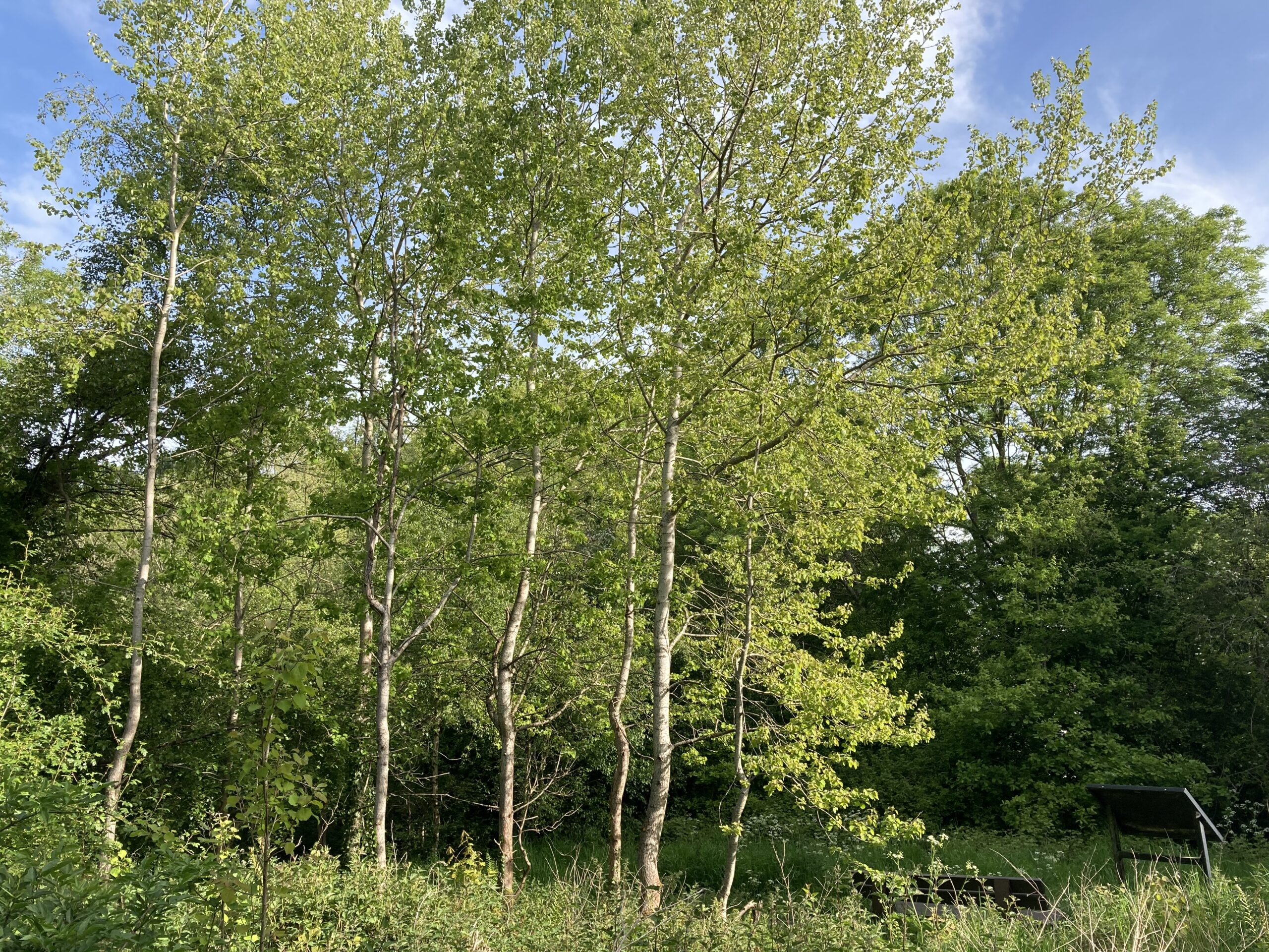 Stand of aspen trees
