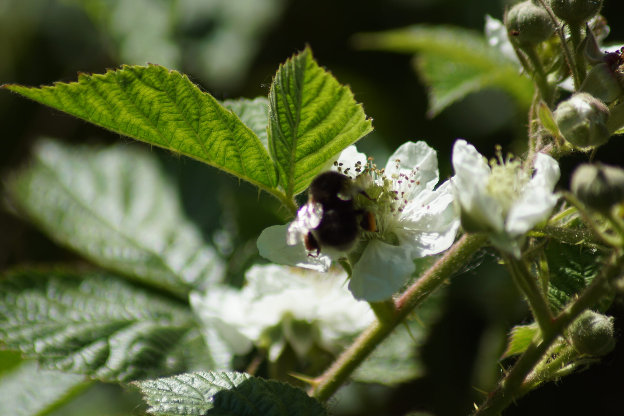 Bramble flower with white tailed bumble bee