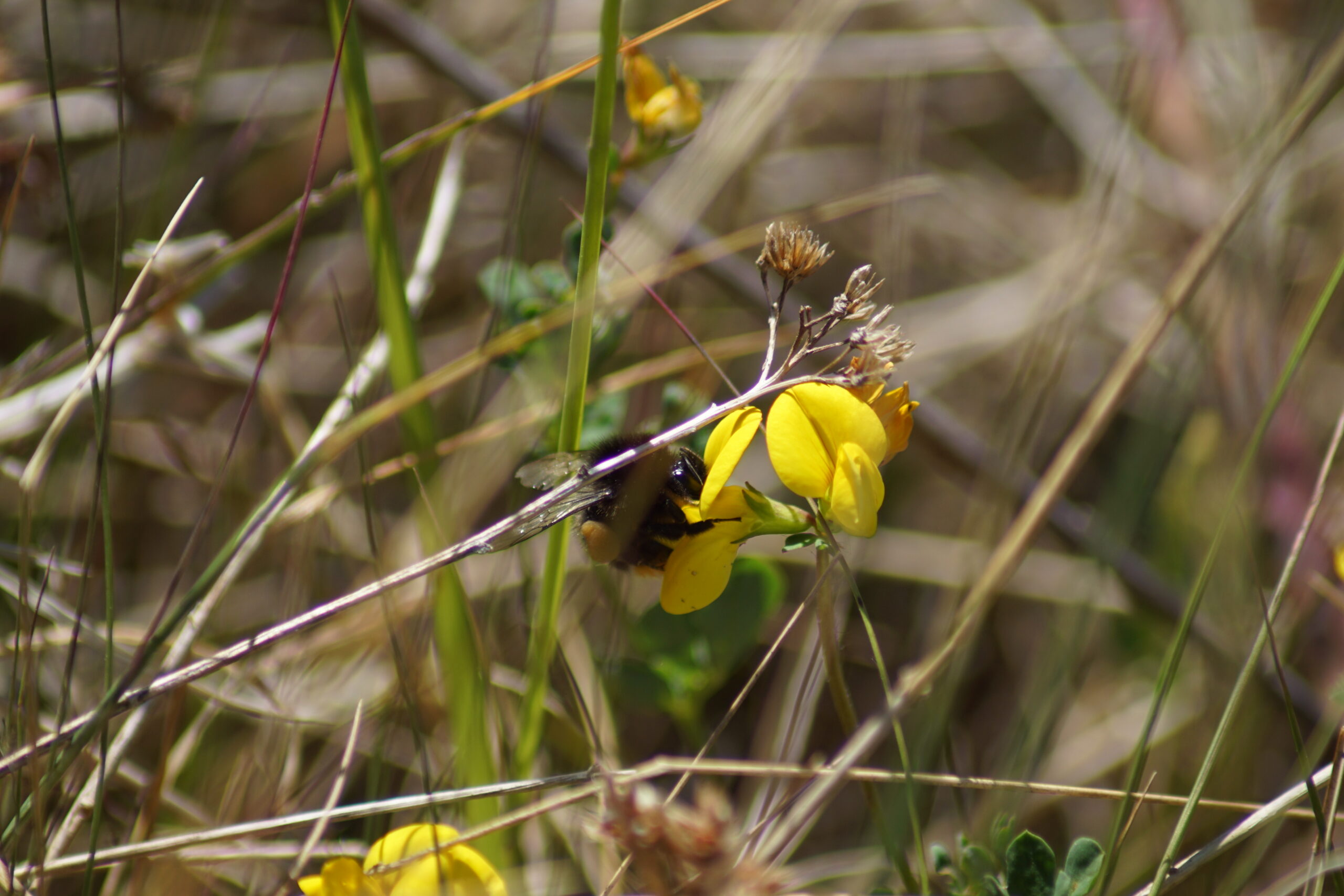 White tailed bumble bee on birdsfoot trefoil