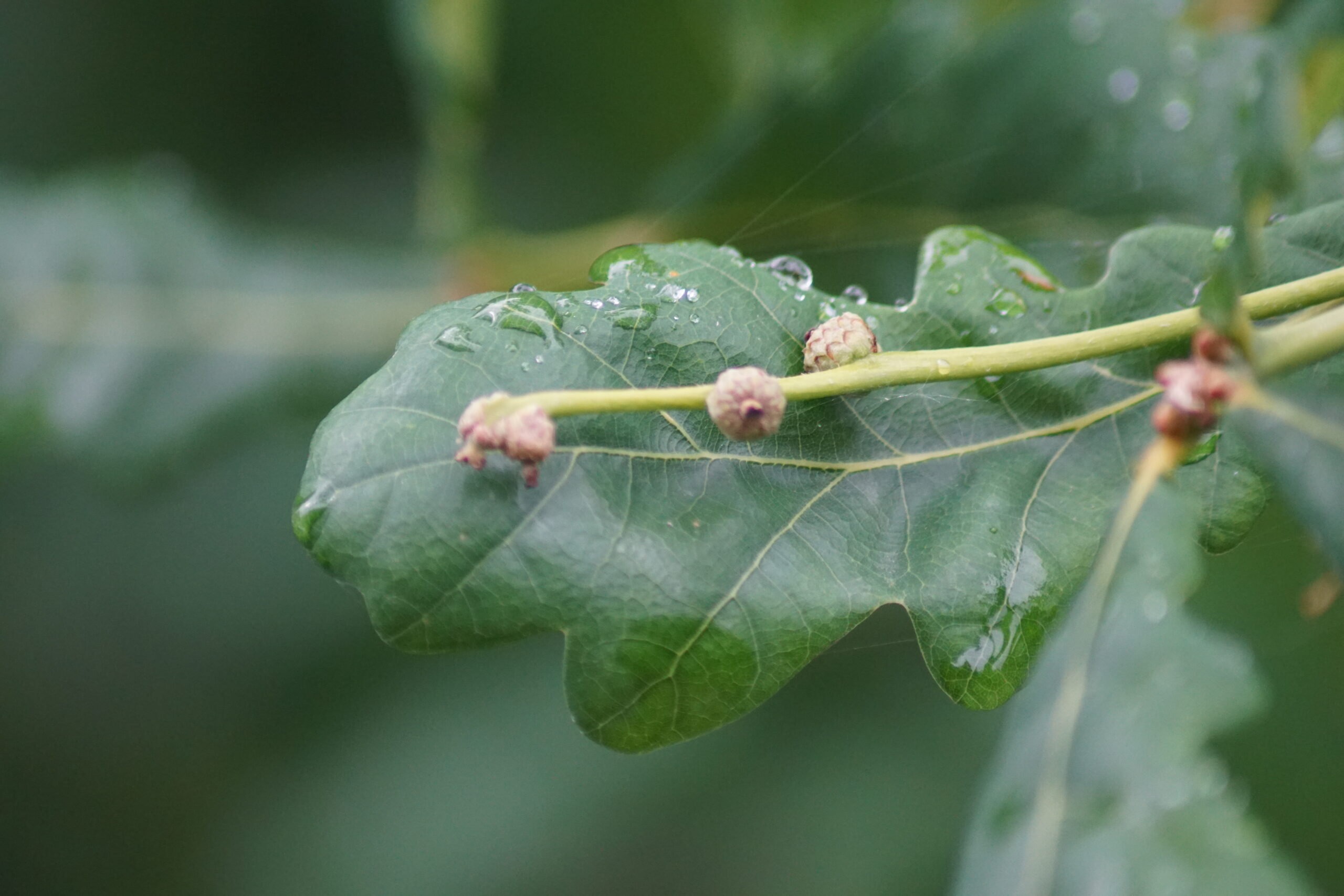 Acorns developing on the Oak - June