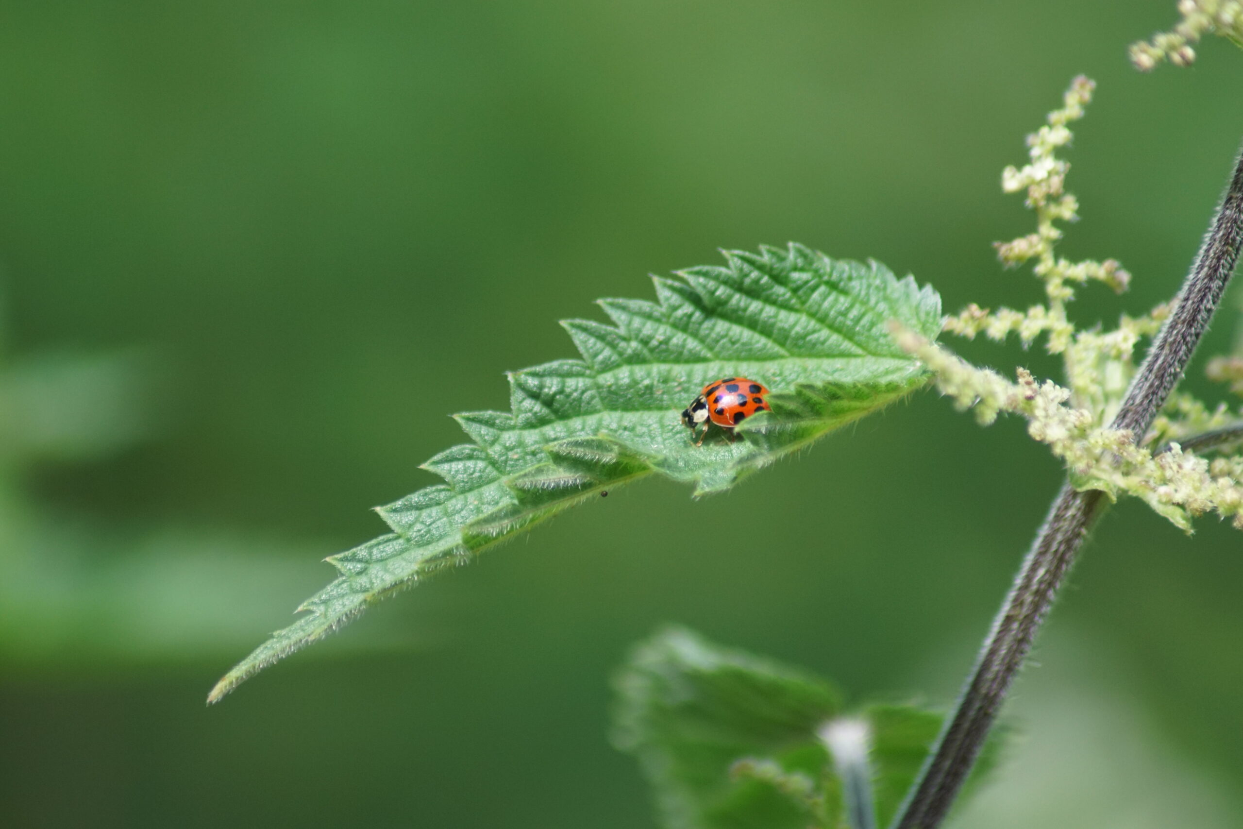 Harlequin Ladybird (invasive species)