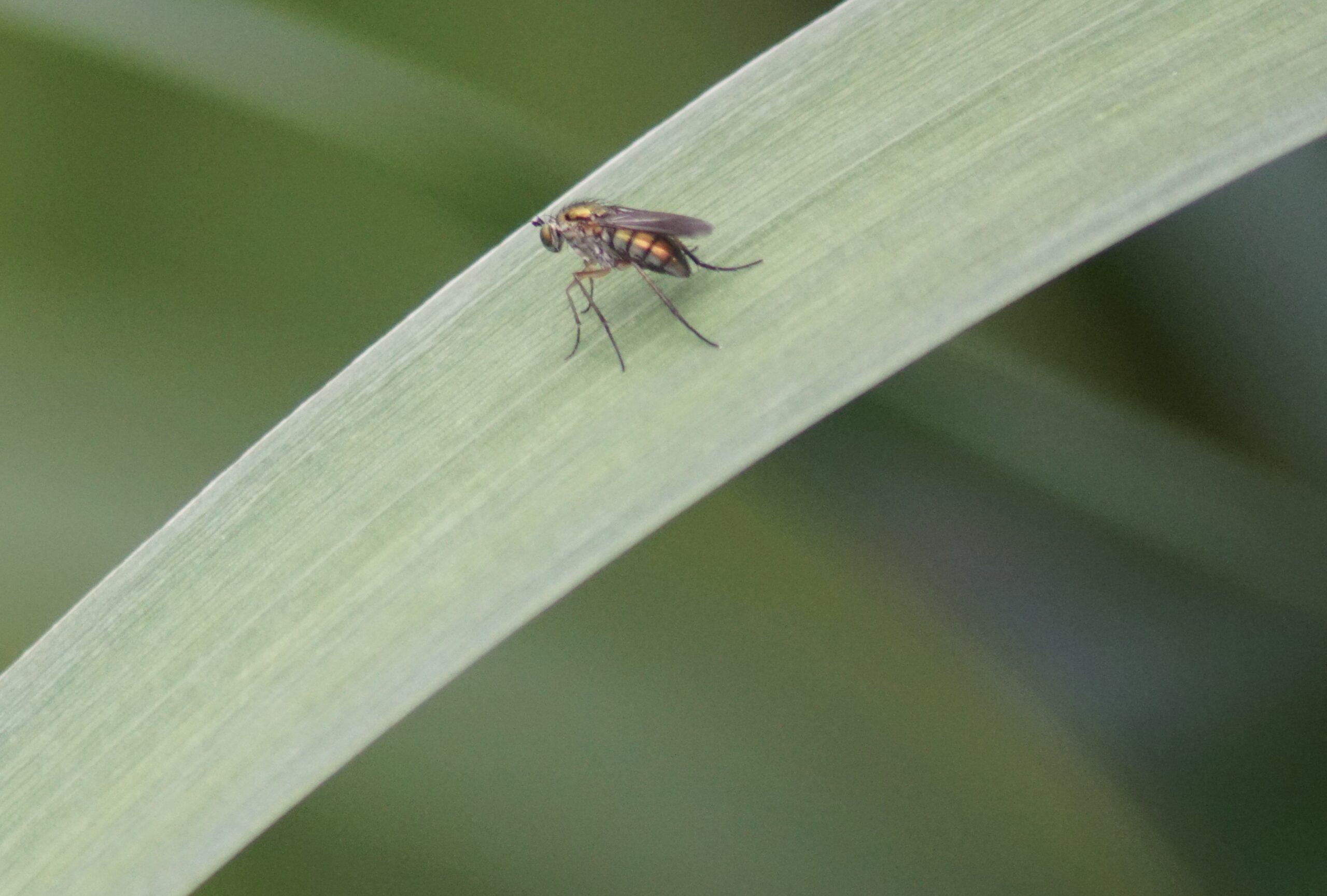 Fly - Dolichopus popularis