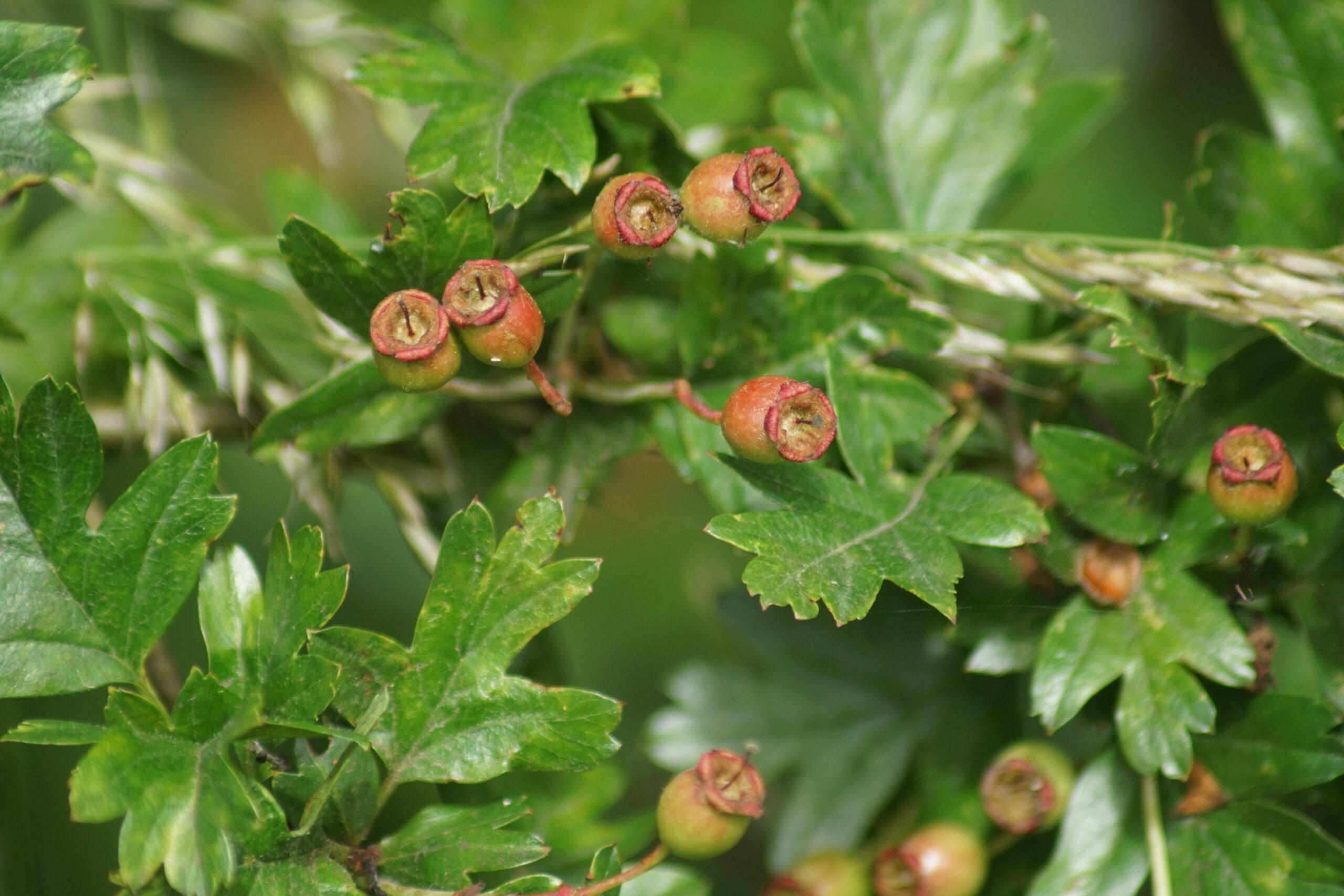 Haws developing on Hawthorn bush