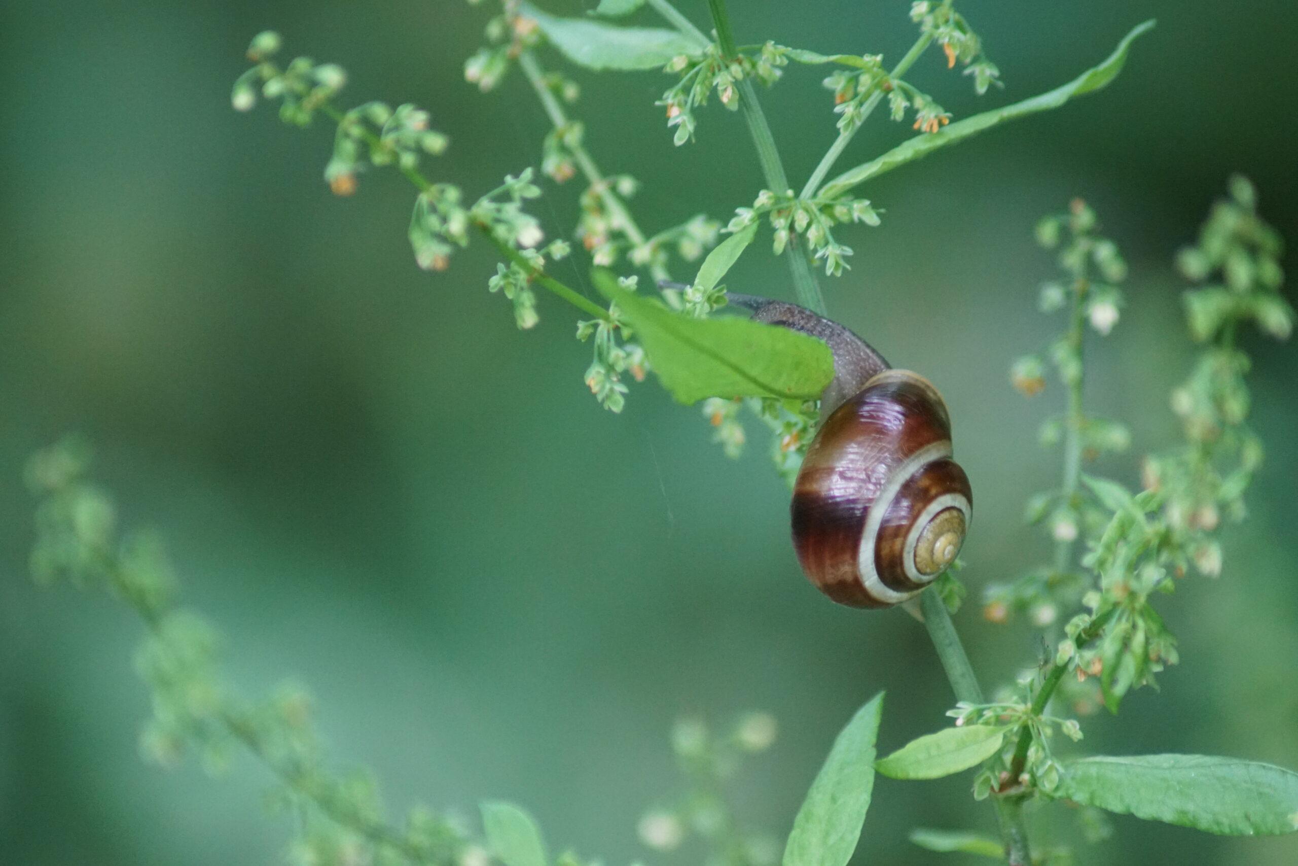 Possibly Heath snail - Helicella itala