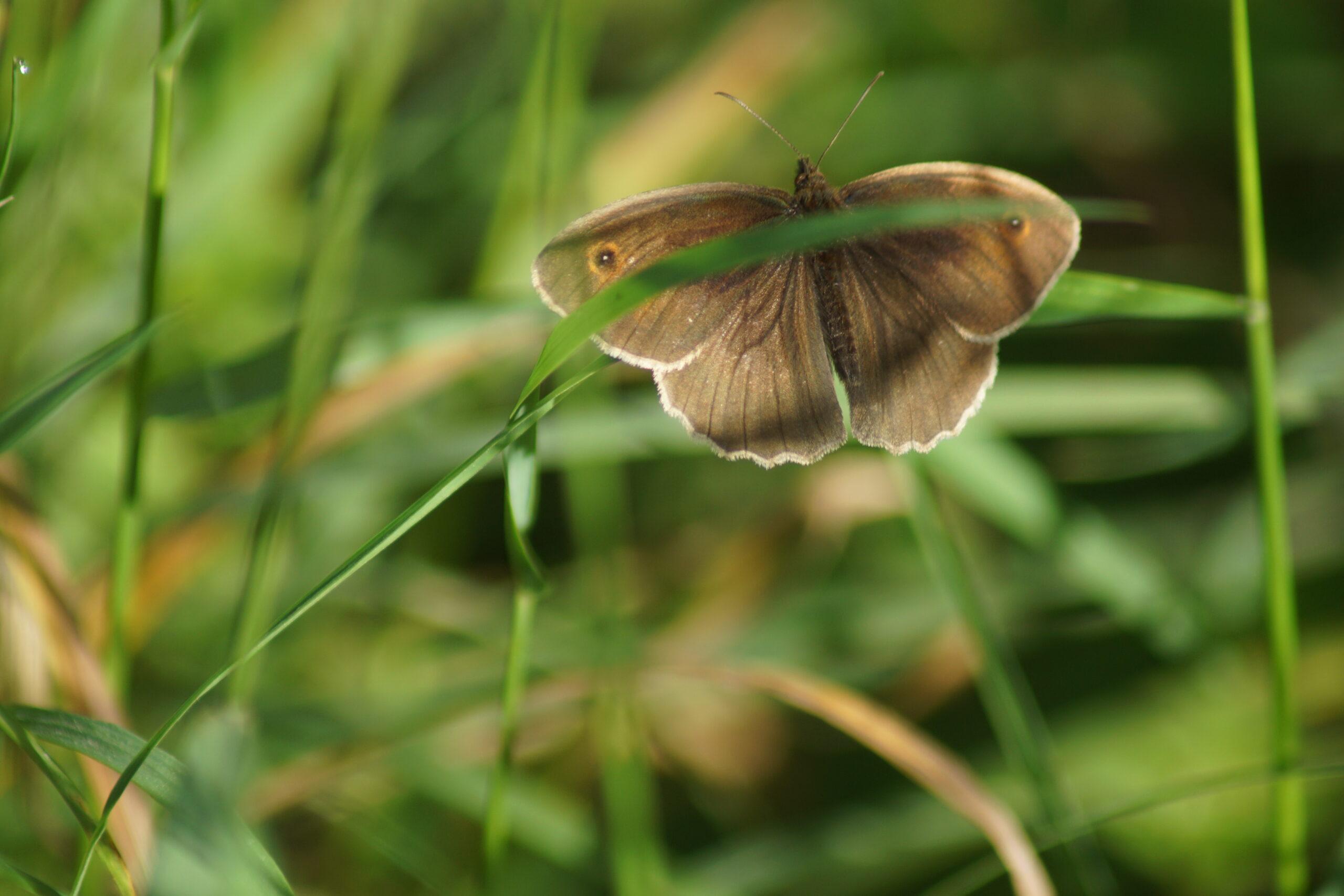 Male Meadow brown