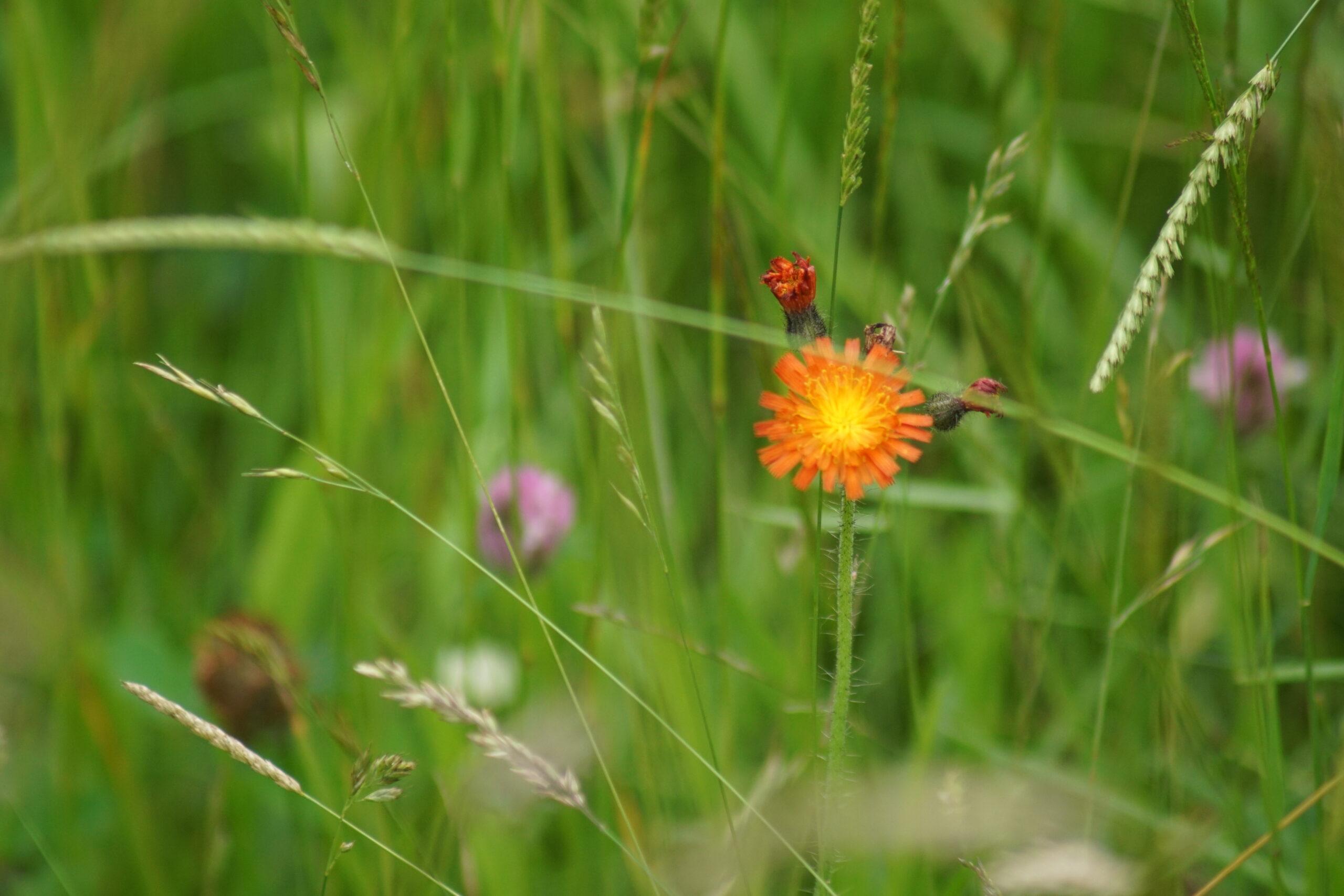 Fox-and-Cubs (Orange hawkweed)