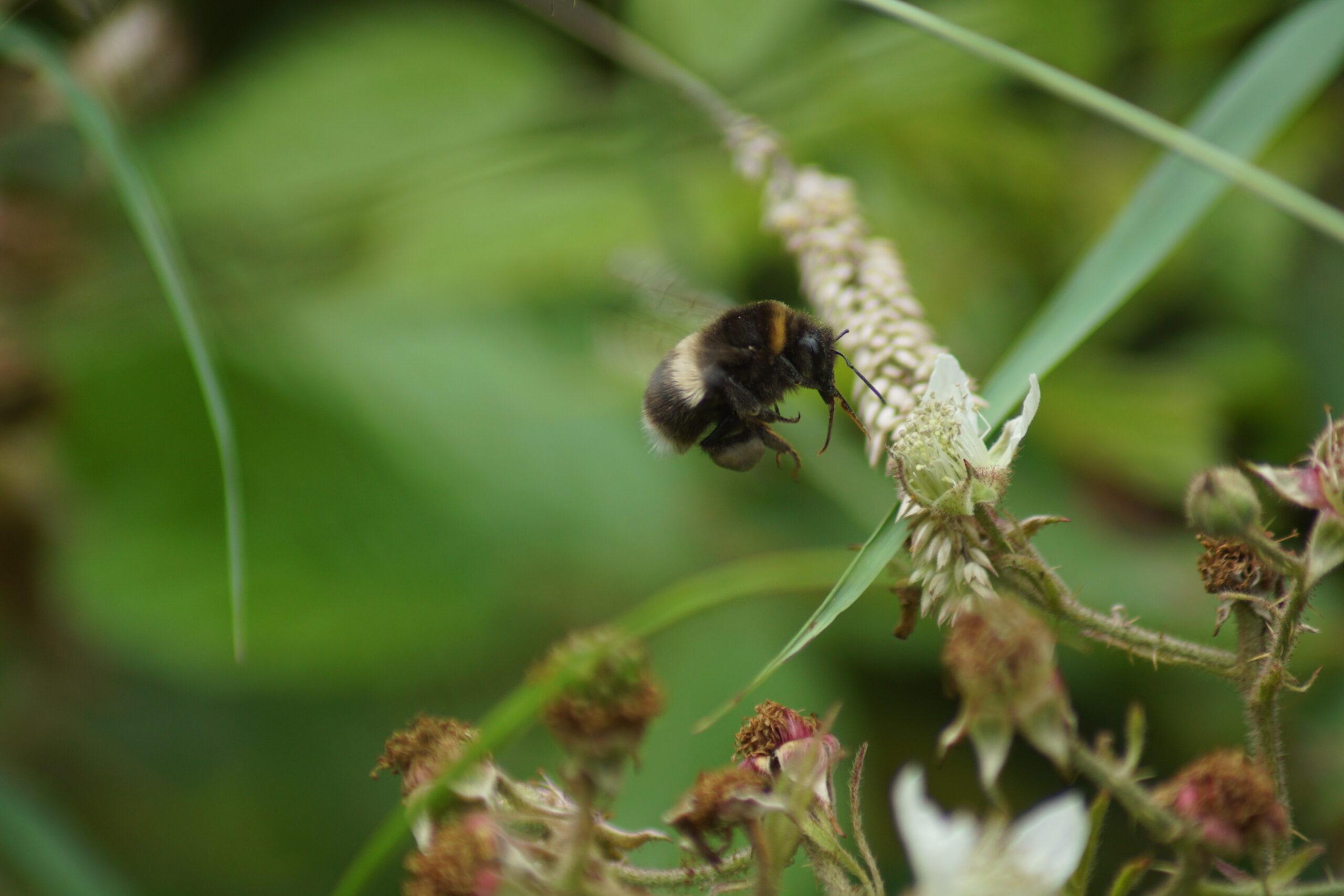 Heath bumble bee