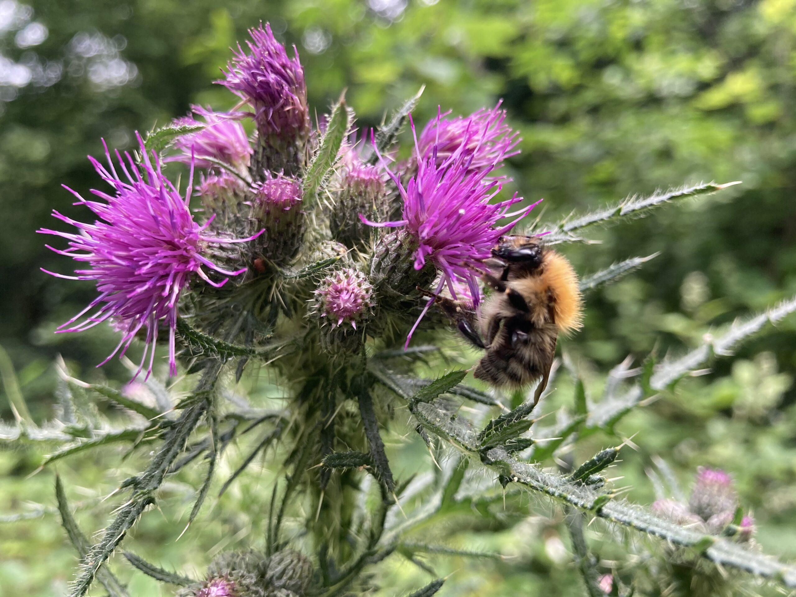Common carder bee (queen) on Creeping thistle