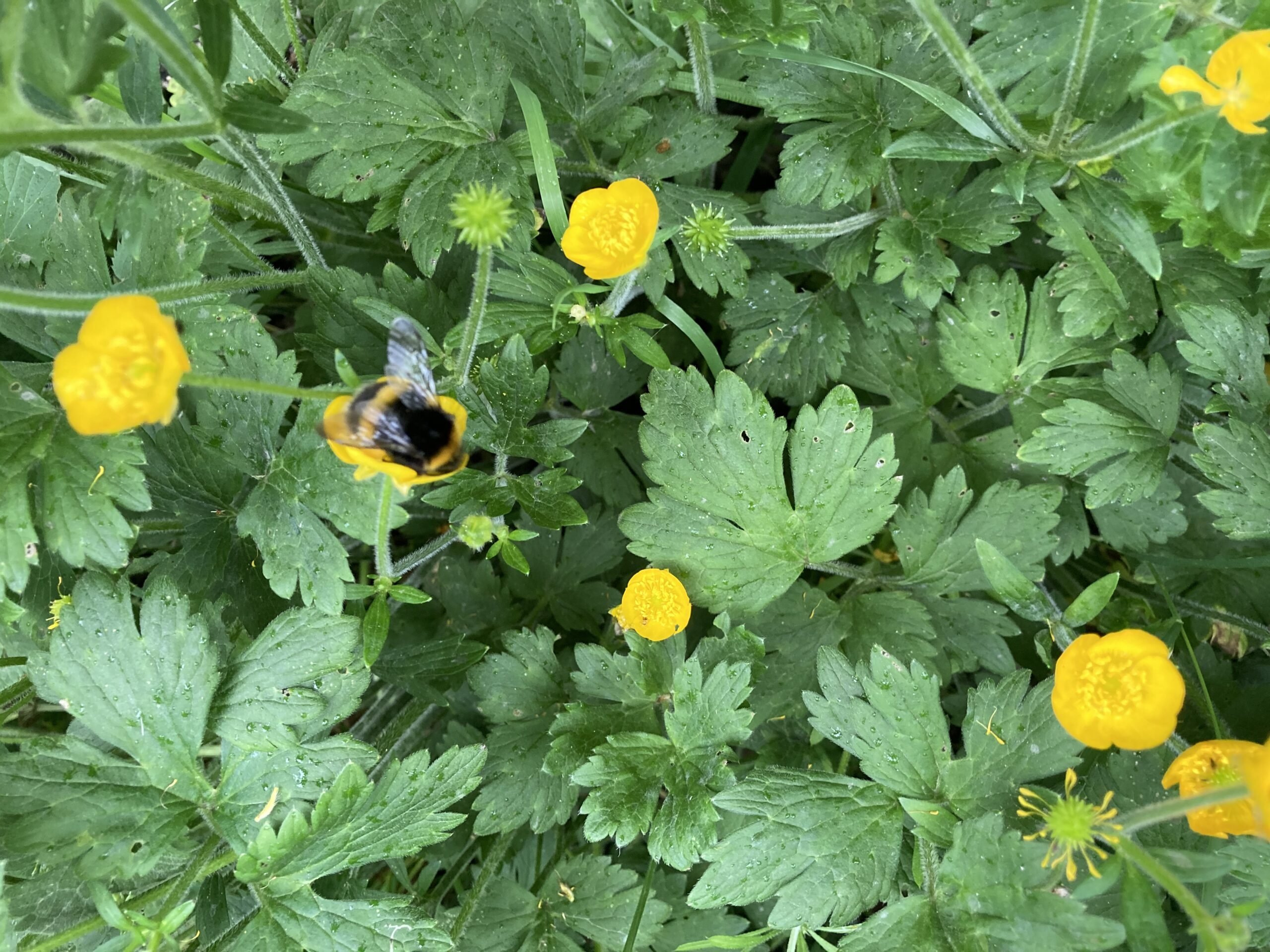 White tailed bumble bee on Marsh Marigold