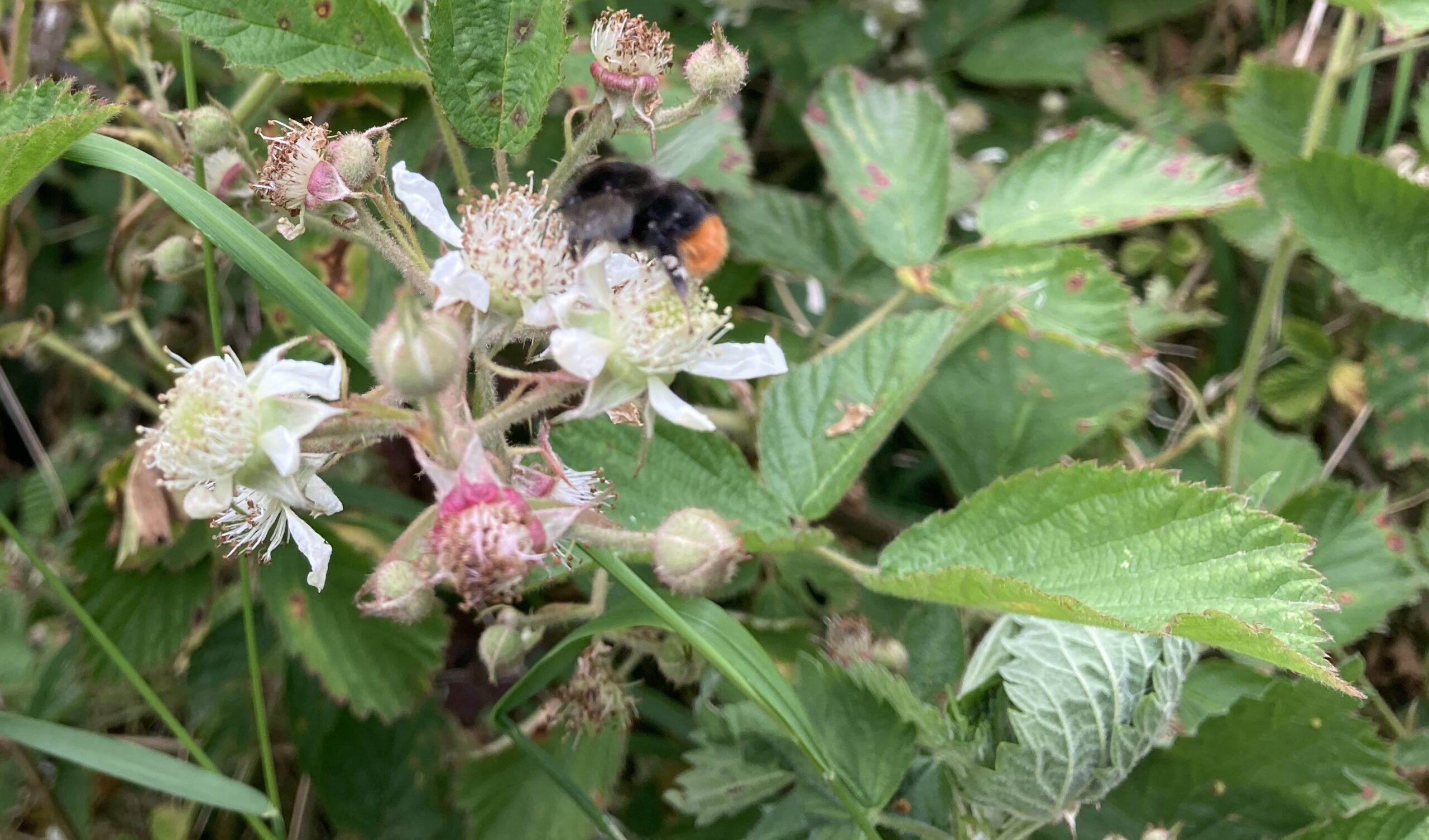 Red tailed bumble bee on bramble
