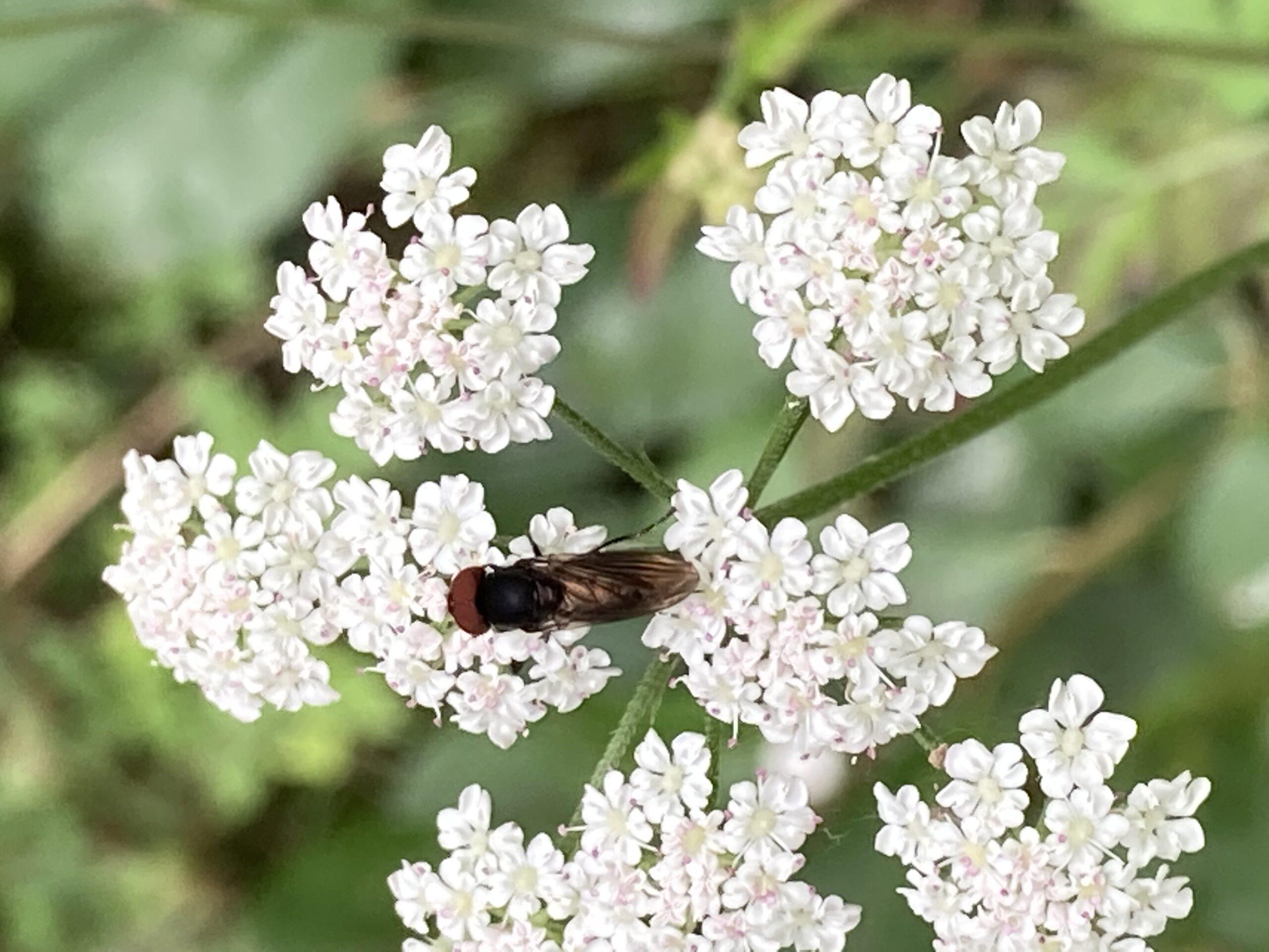 Hover fly - Rhingia campestas