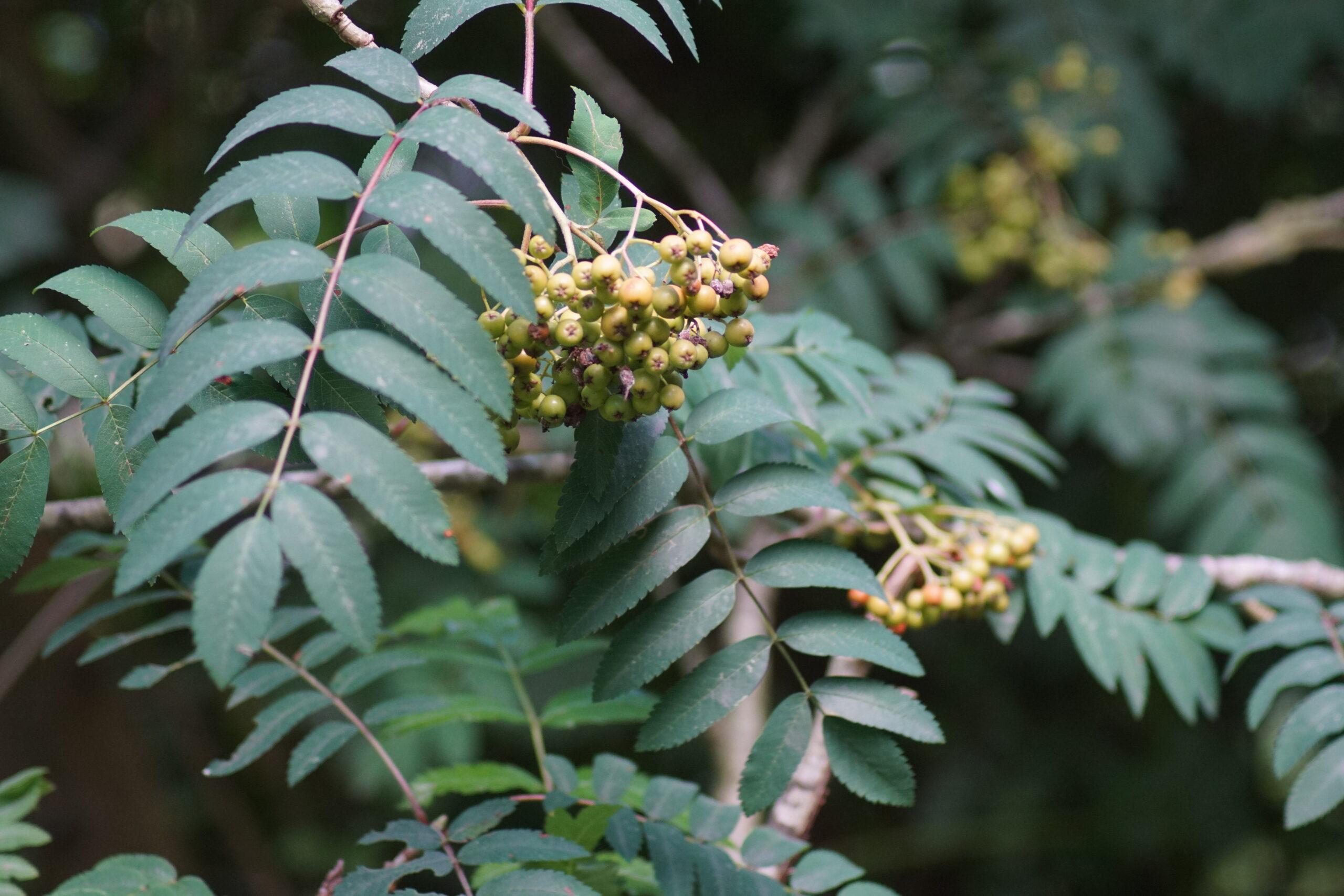 Berries developing on the Rowan tree - June
