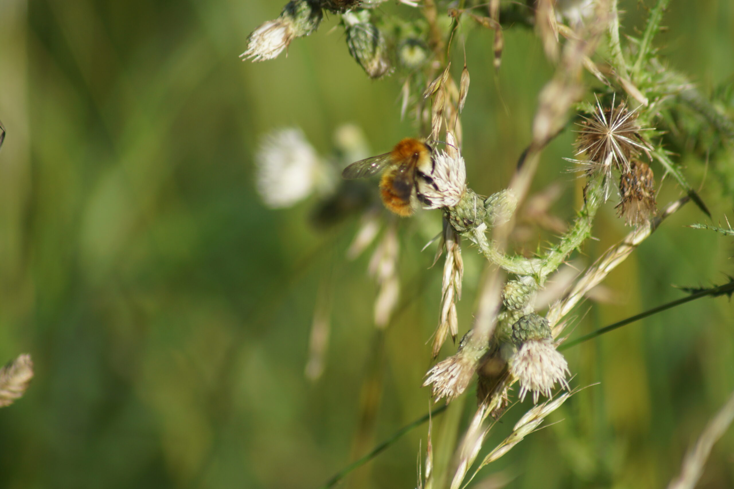 Common carder bee (male)