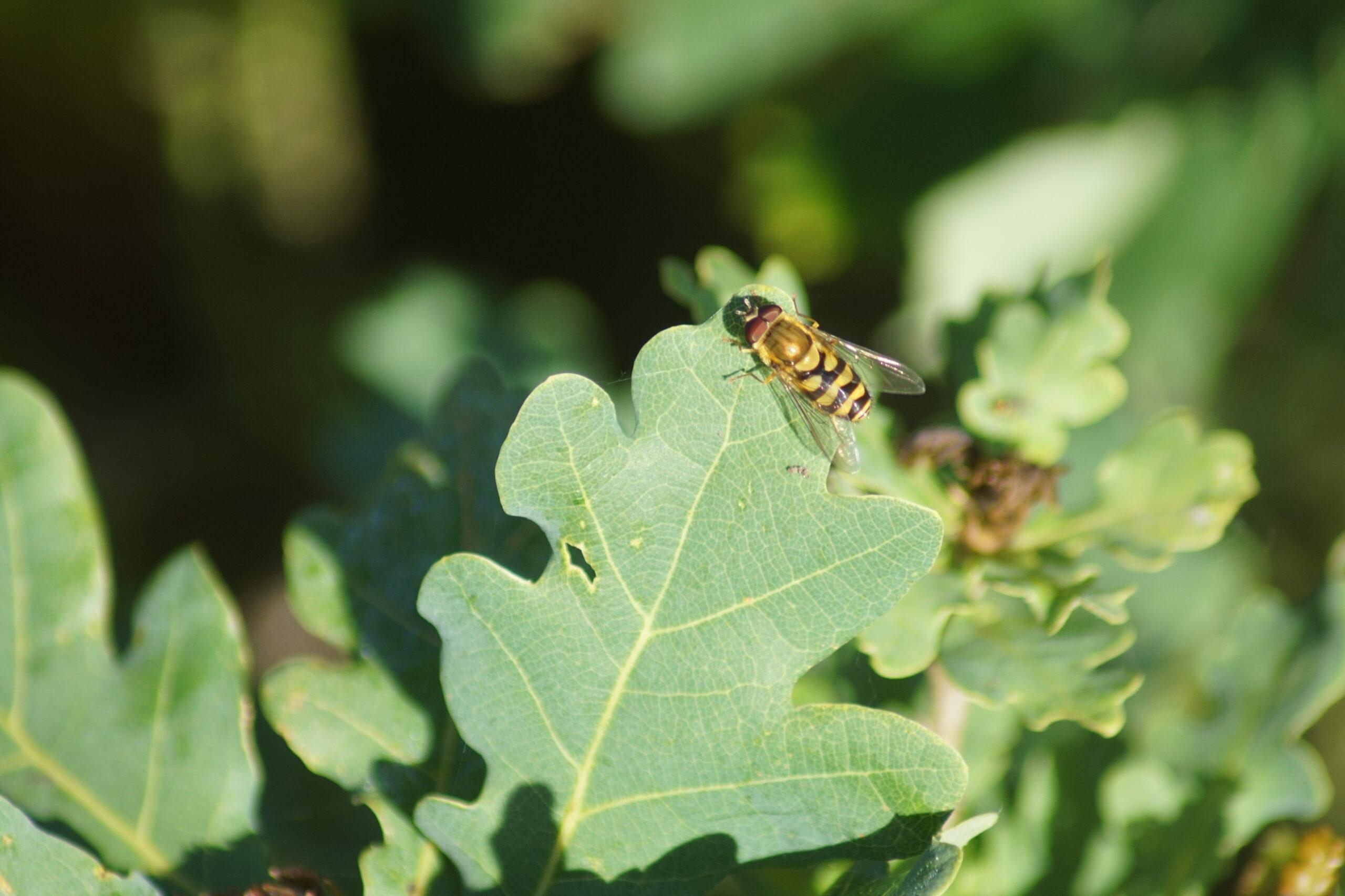 Hoverfly - Syrphus ribesii