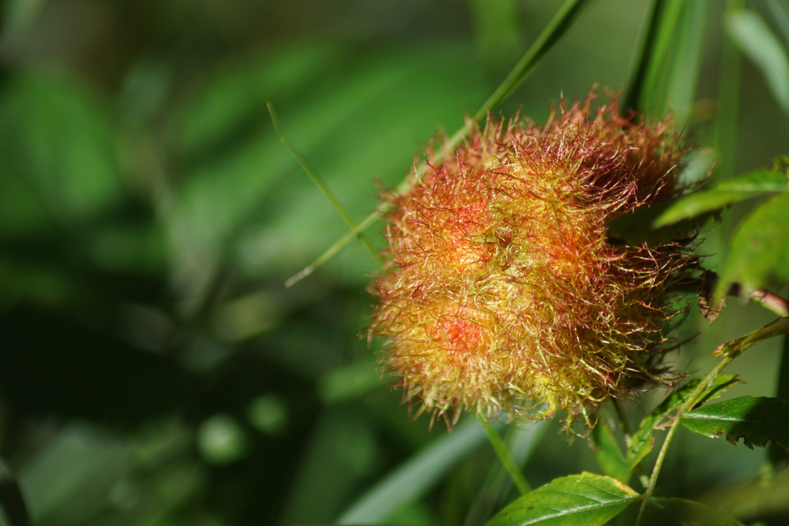 A mossy rose gall - July