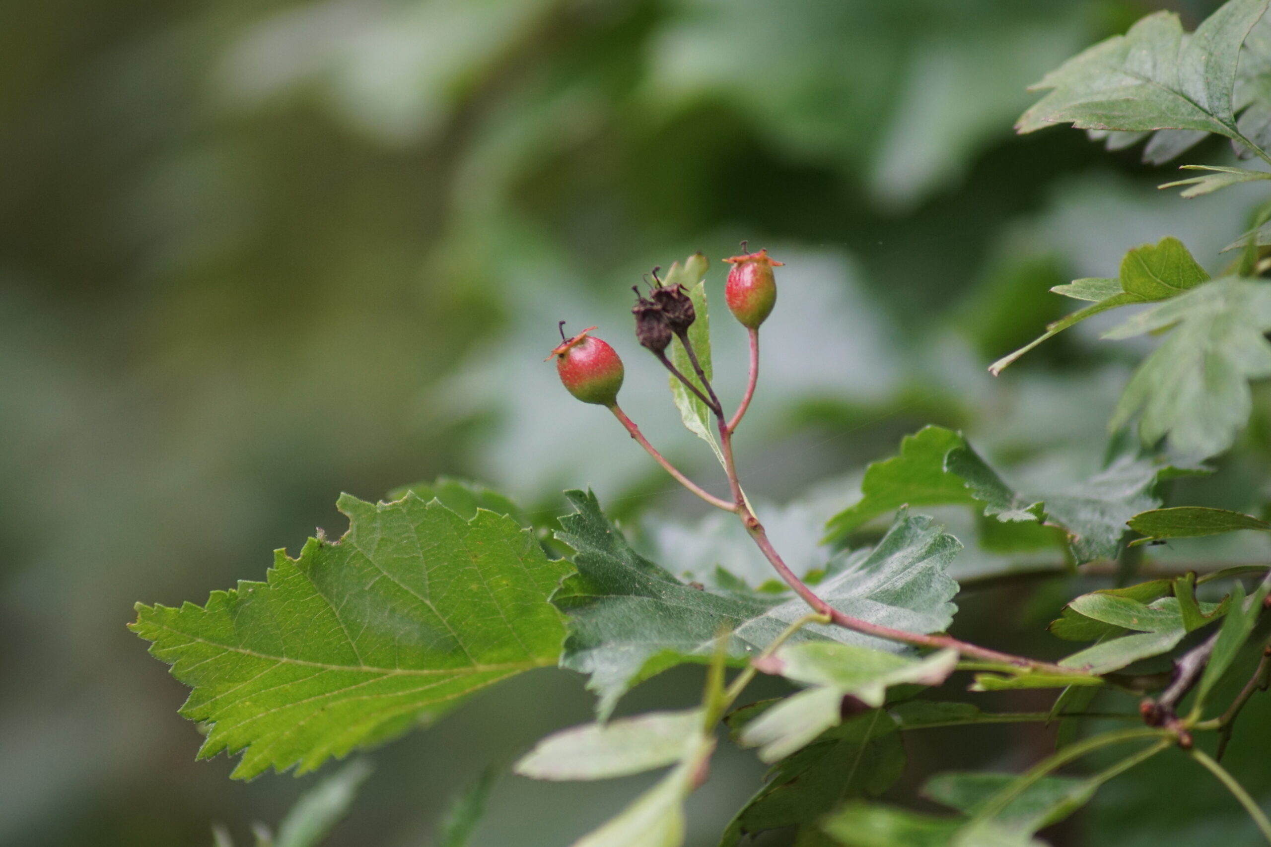 Haws developing on the Hawthorn