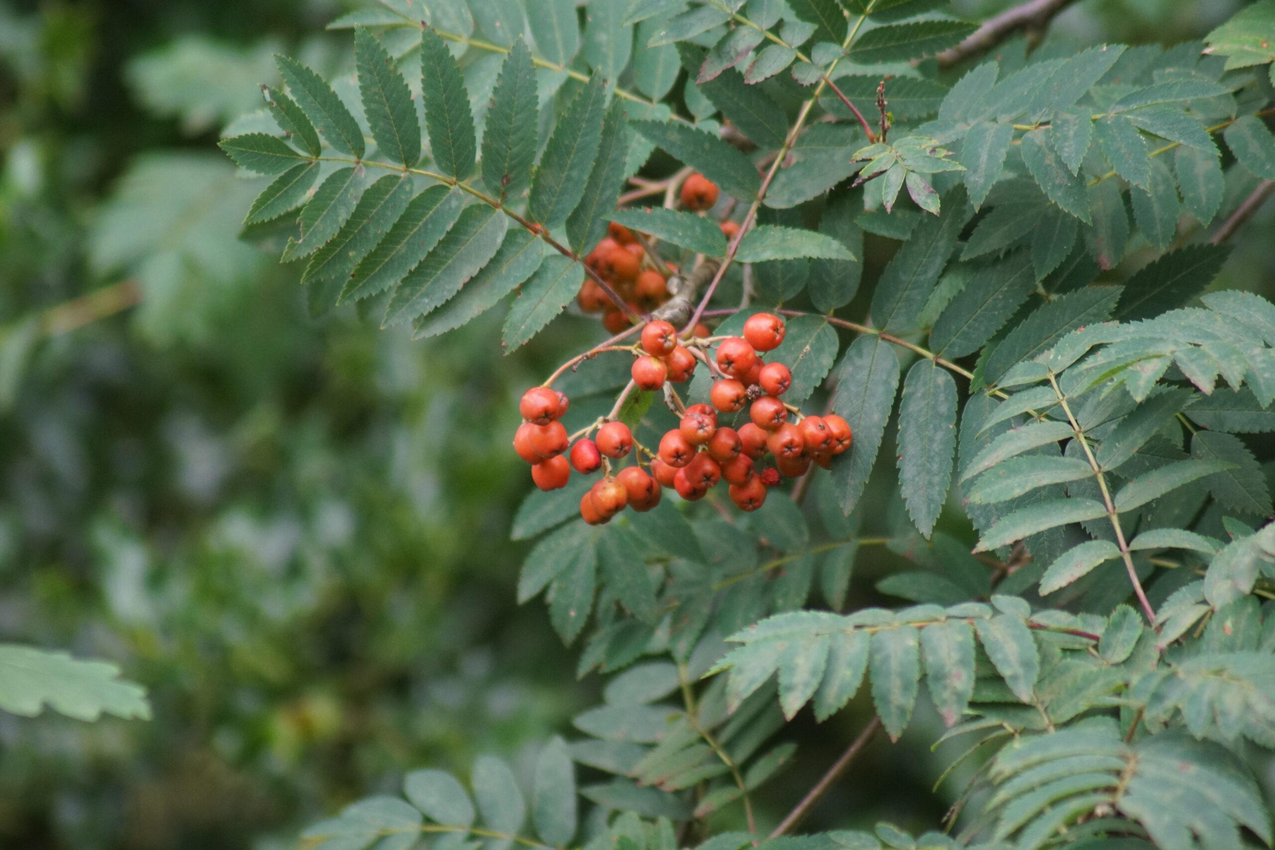 Berries on Rowan tree - July