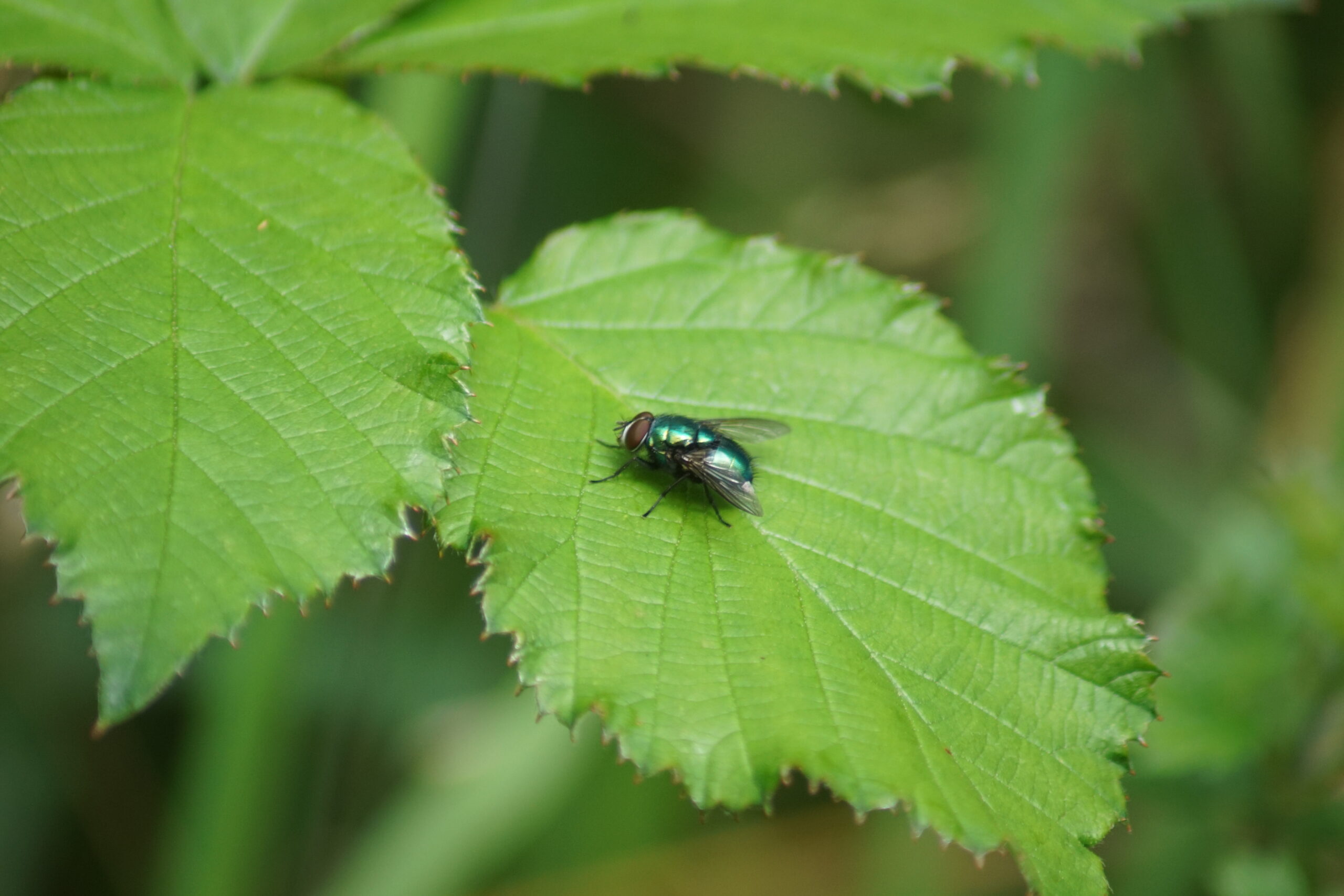 Possibly - Blow fly - Lucilia caesar