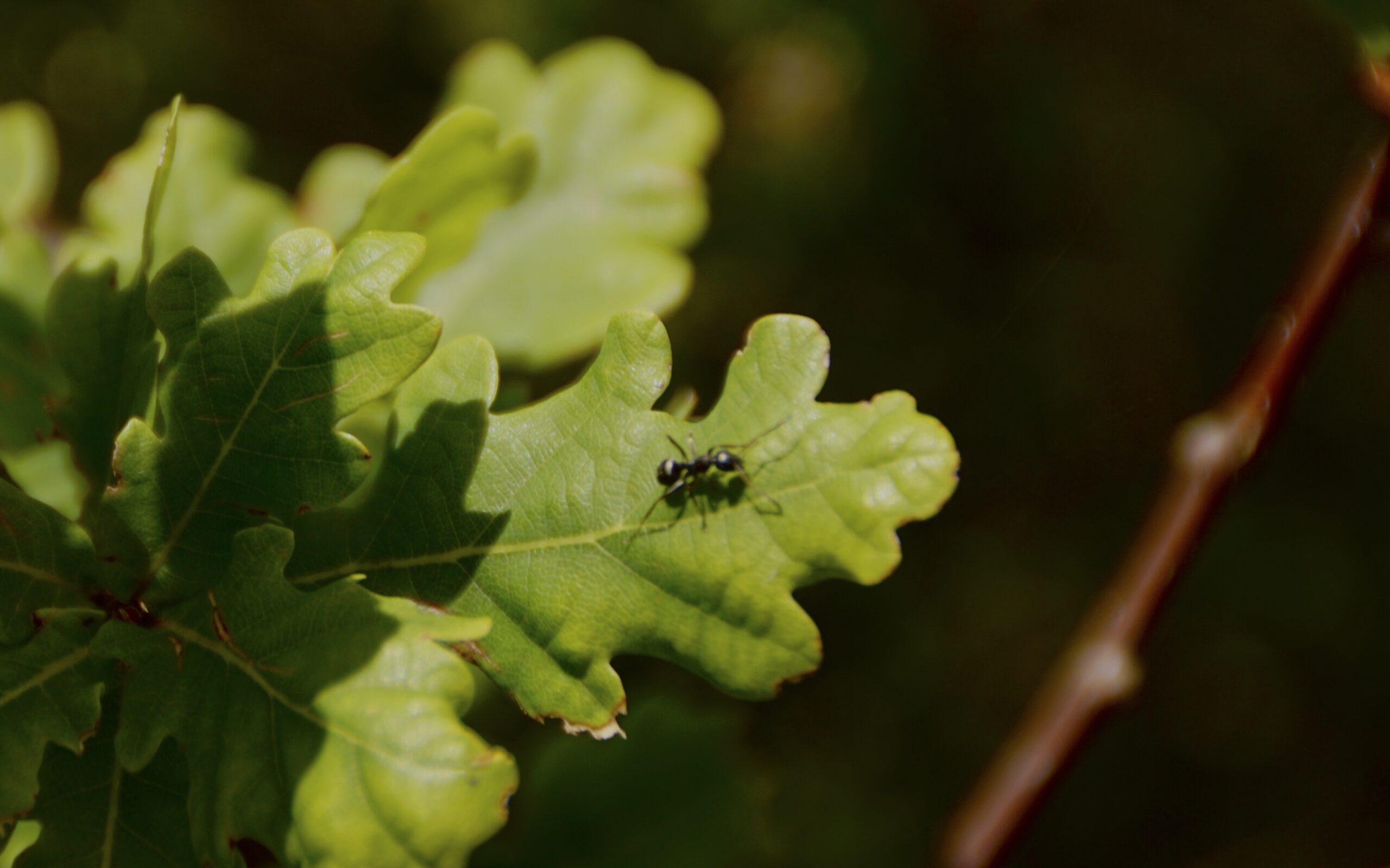 Small black ant - (Lasius niger)