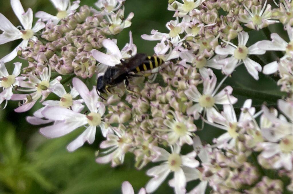 Digger wasp - Ectemnius cephalotes