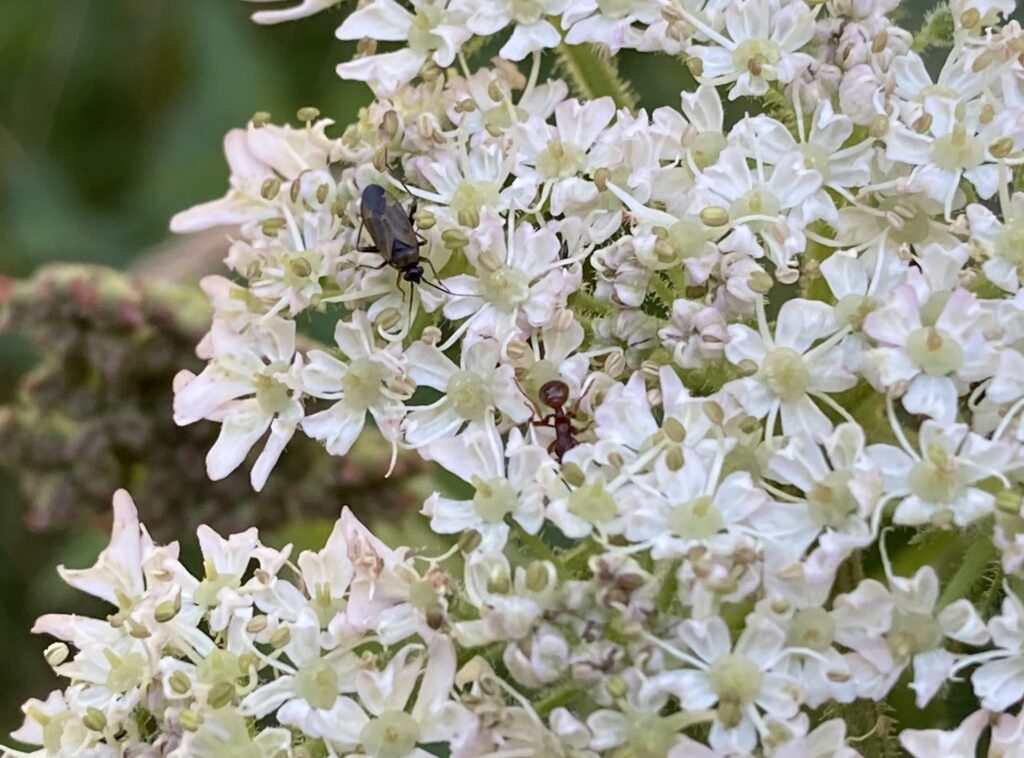 Black longhorn beetle with common red ant