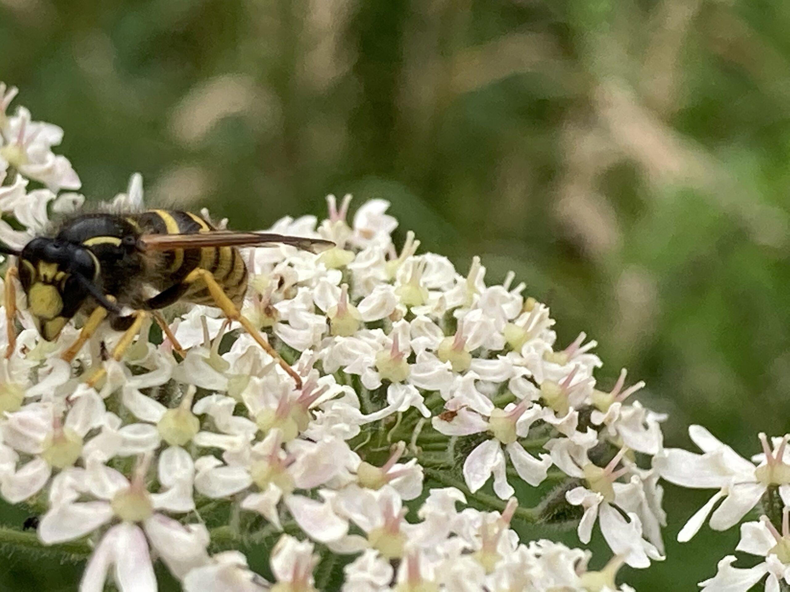 'Tree wasp' - Dolichovespula sylvestric