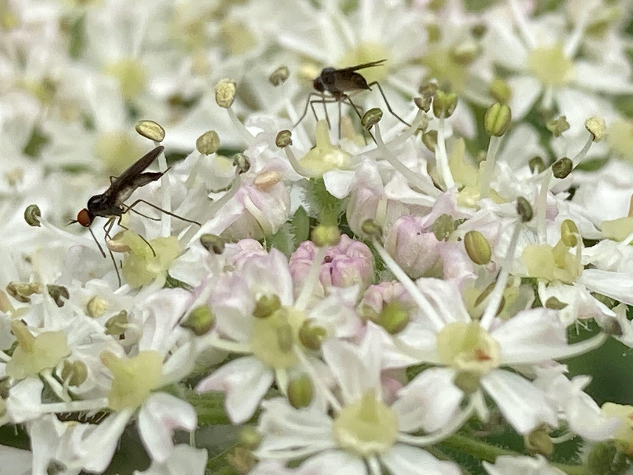 Dance fly - Rhamphomyia sulcata