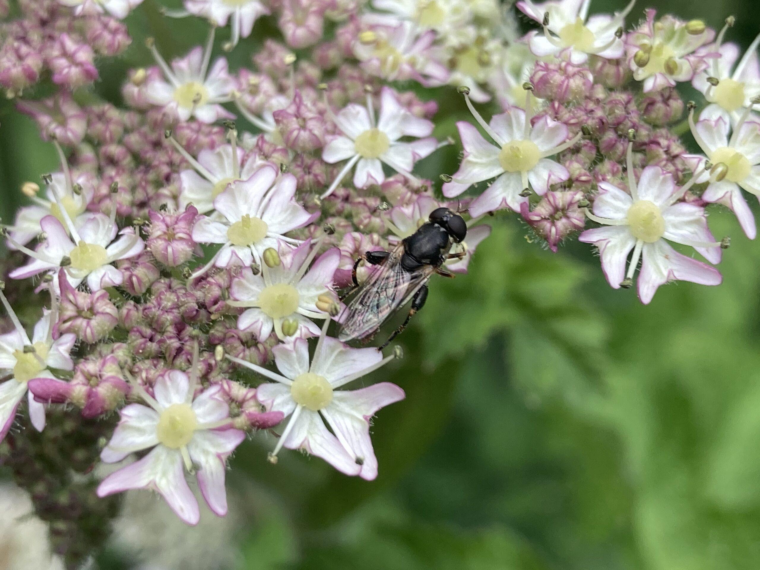 Hoverfly - Cheilosia albitarsis/ranunculi agg