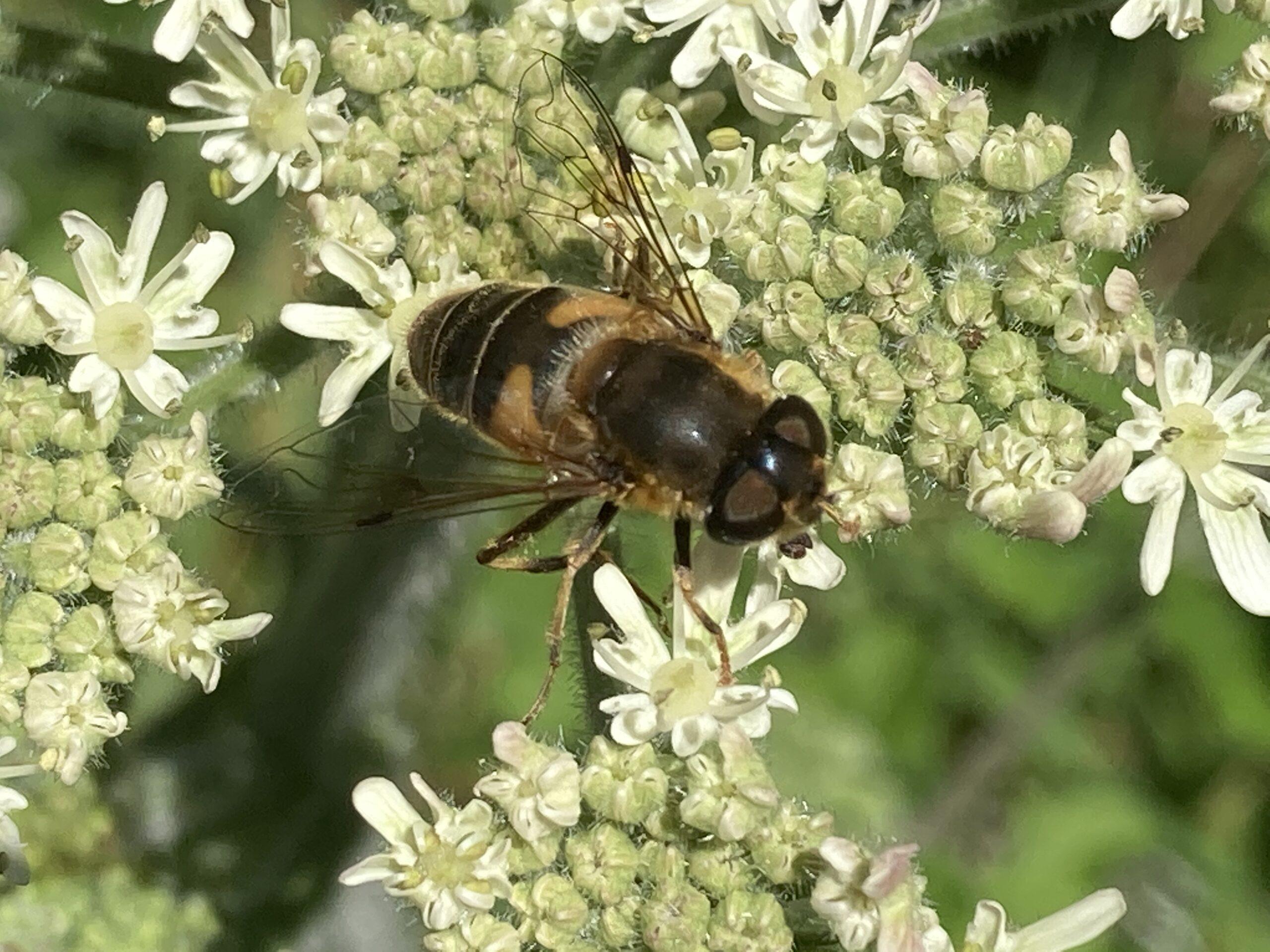 Hoverfly - Eristalis interruptus