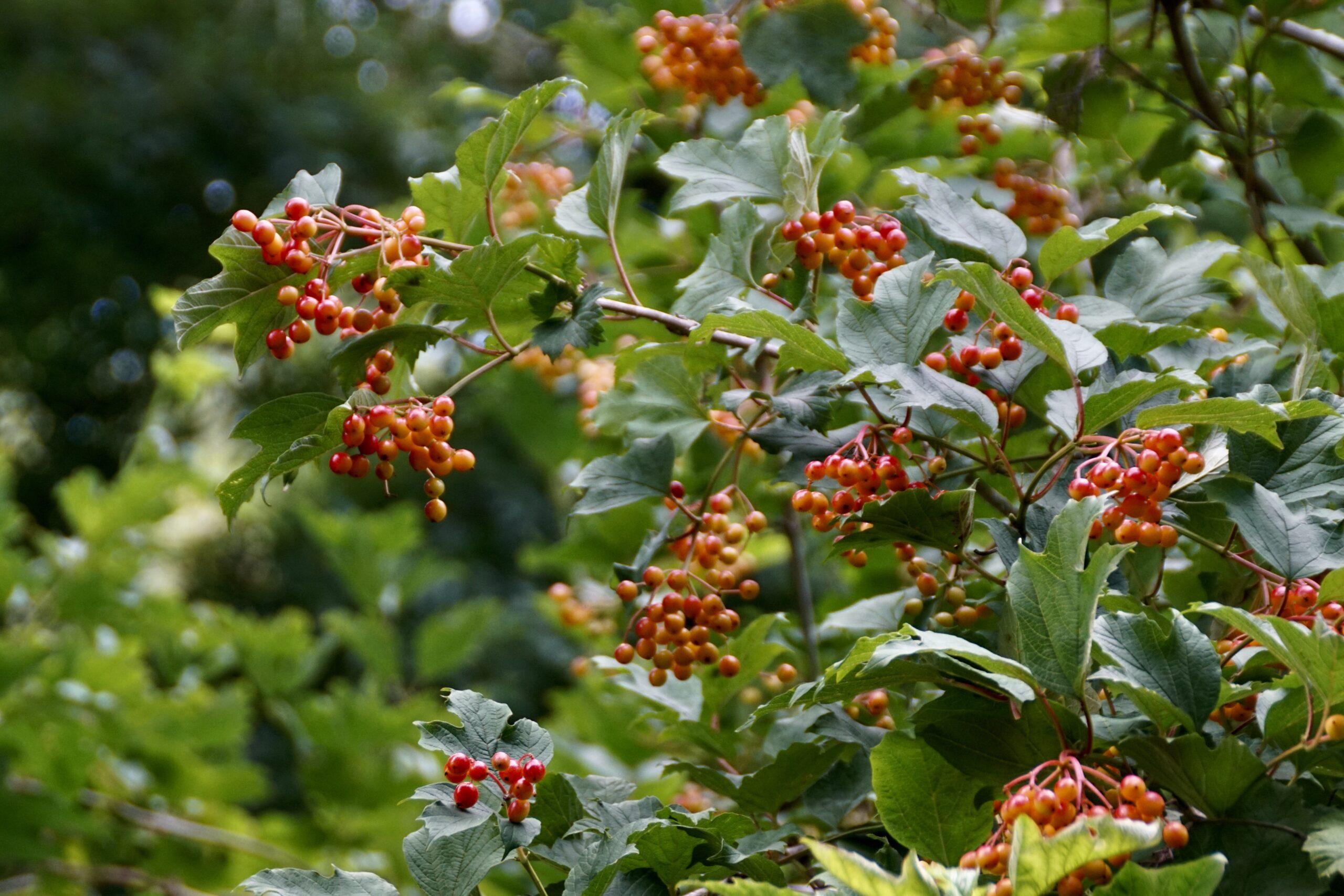 Berries on guilder rose - July